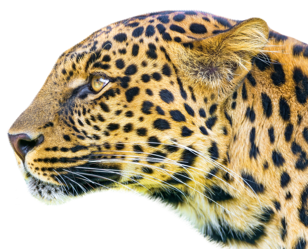 Leopard PNG Image
