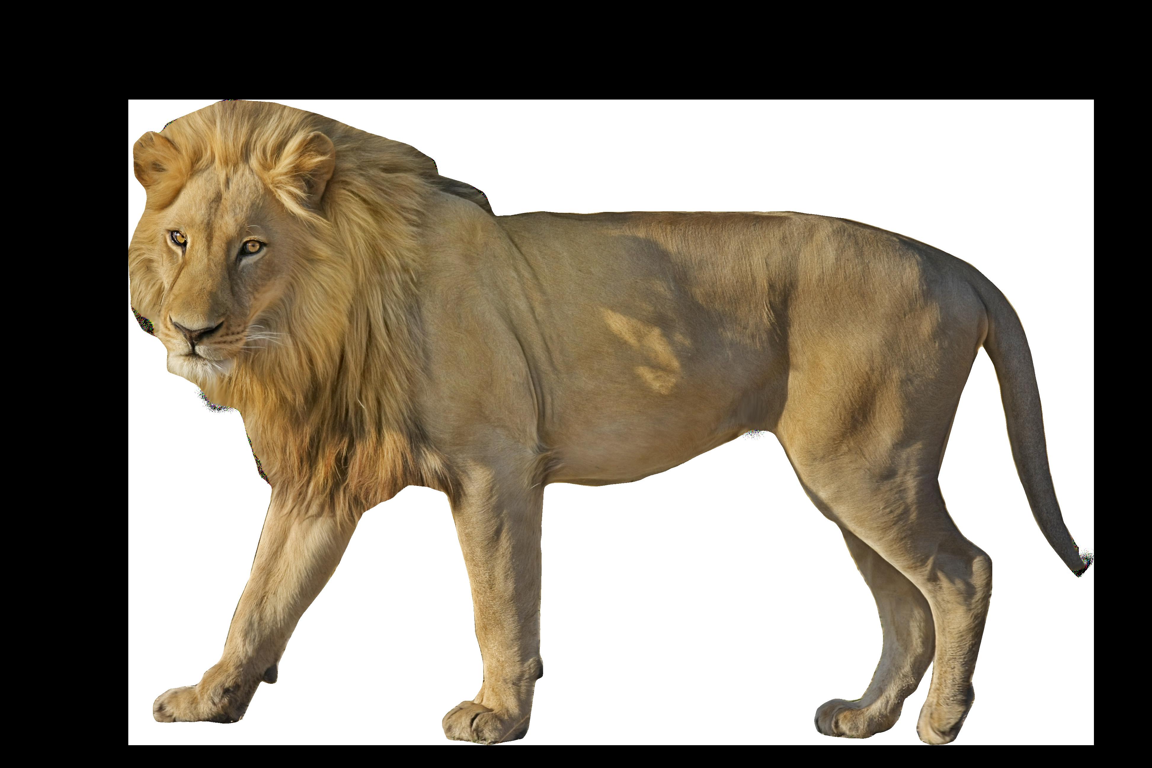 Lion Wildcat  Standing