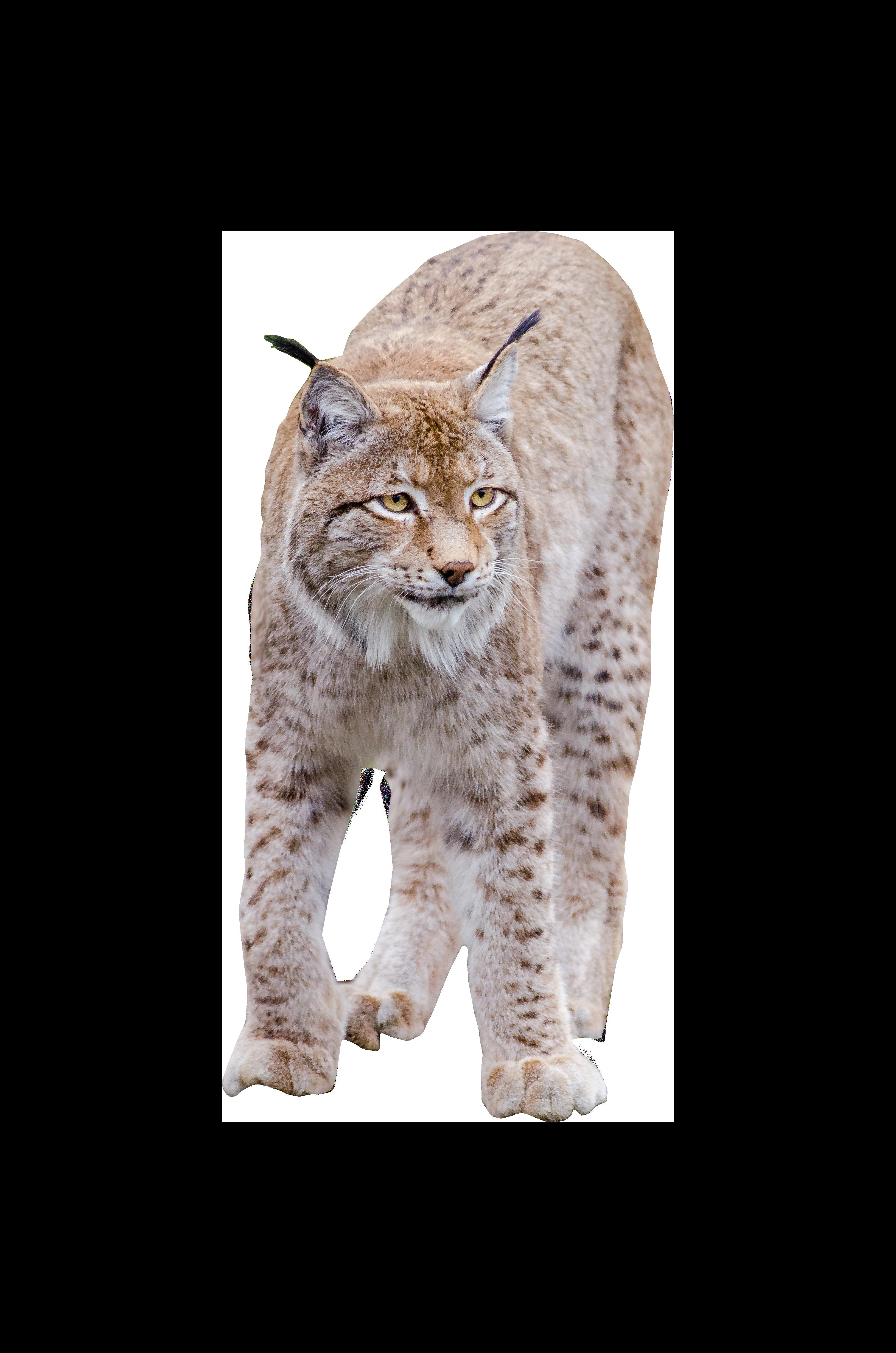 Lynx Standing