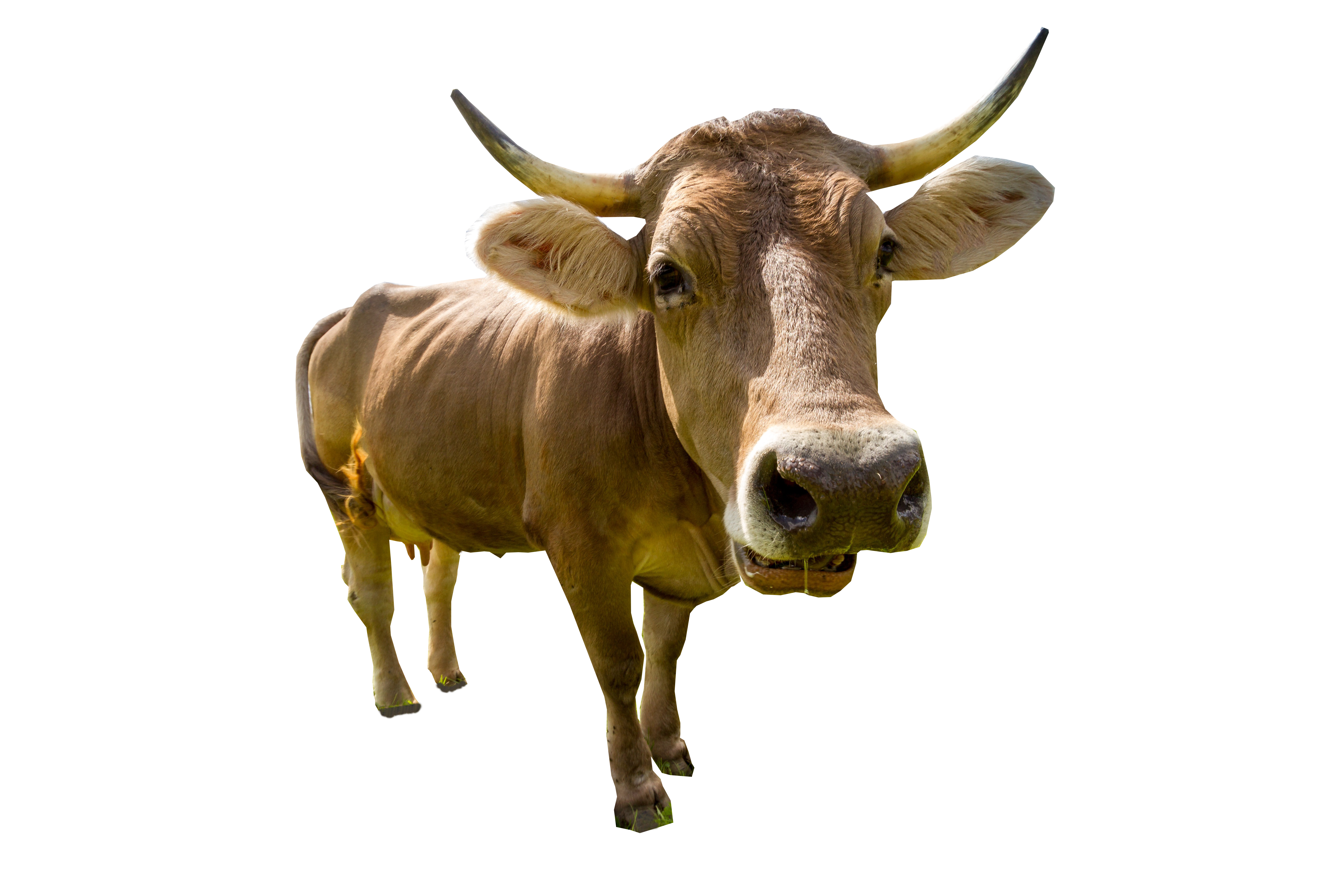 Male Cow Standing