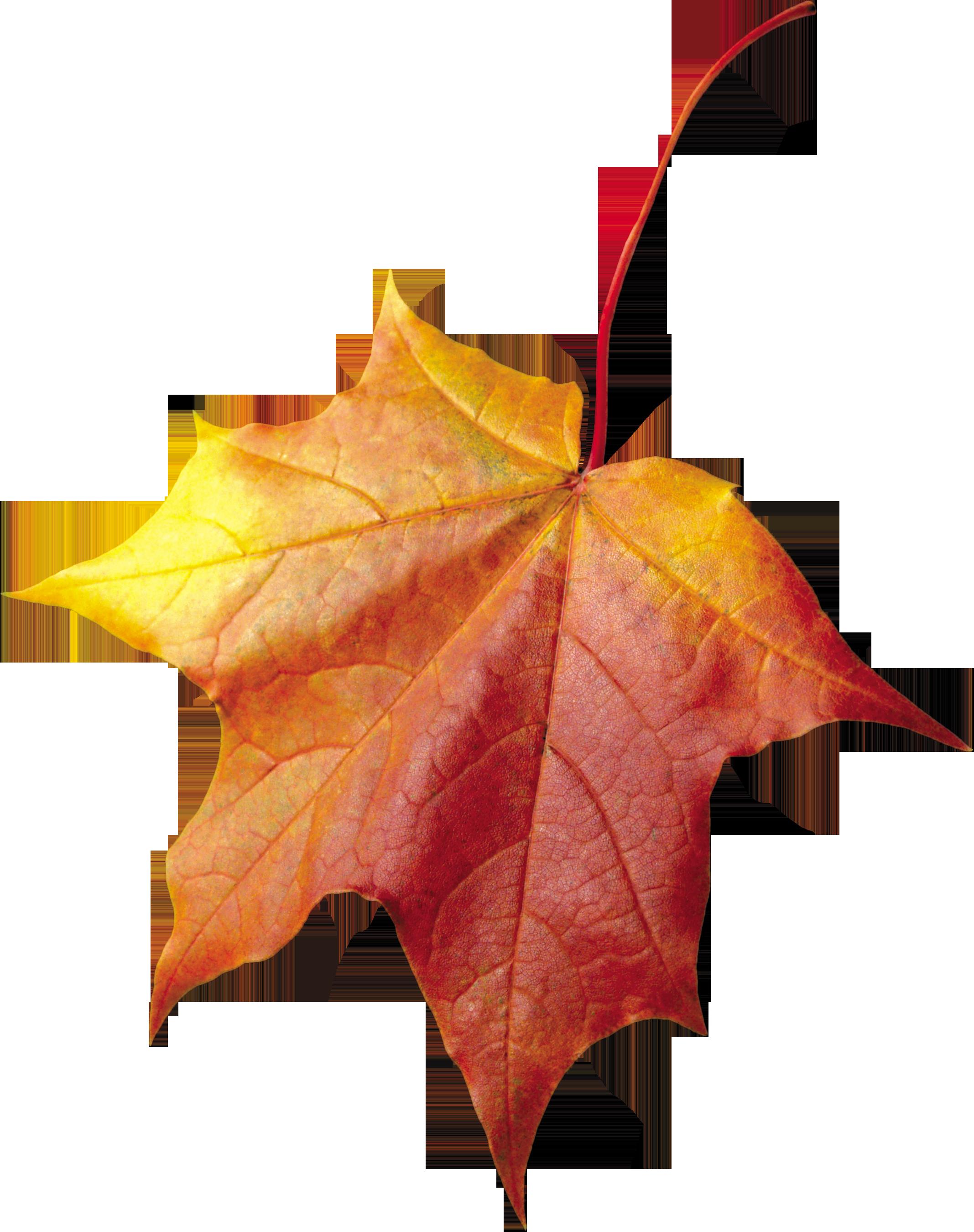 Maple Autumn Leaf PNG Image - PurePNG | Free transparent ...