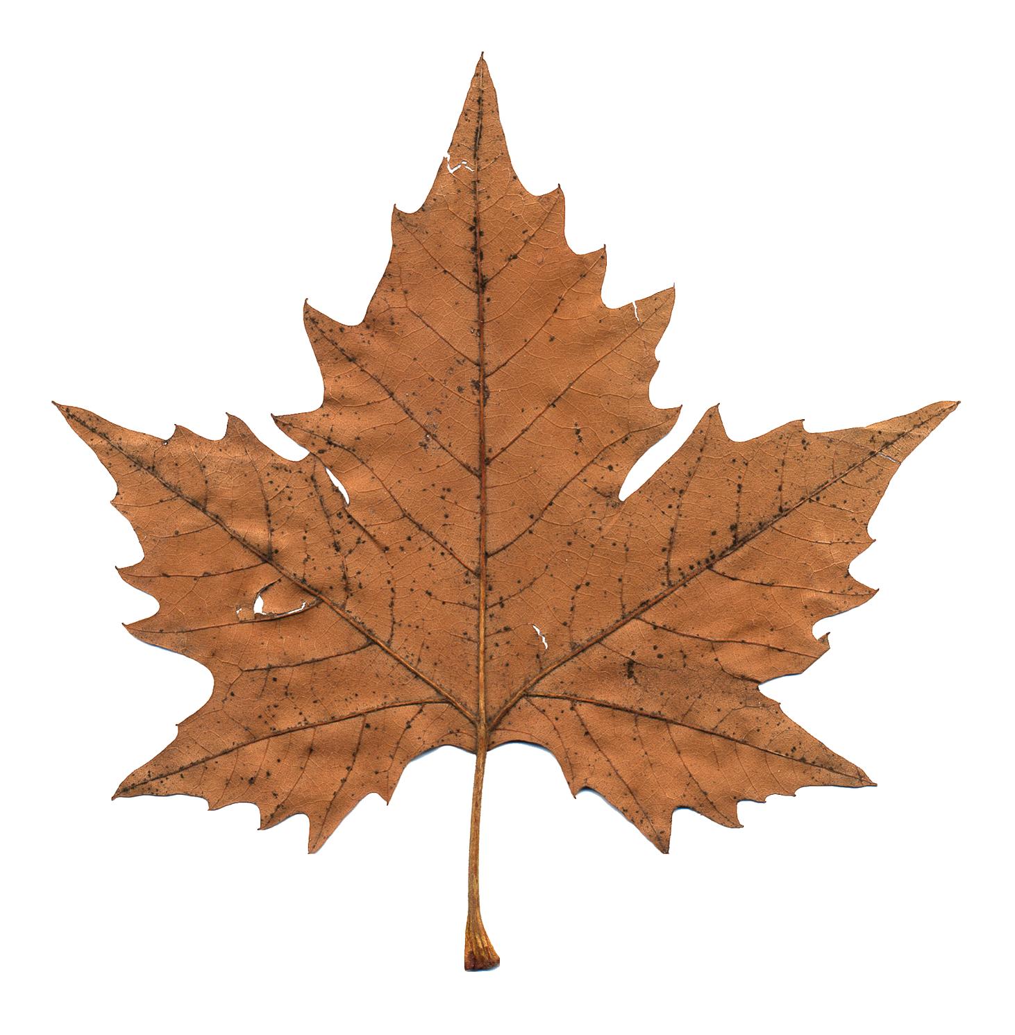 canadian maple leaf images - HD1462×1491