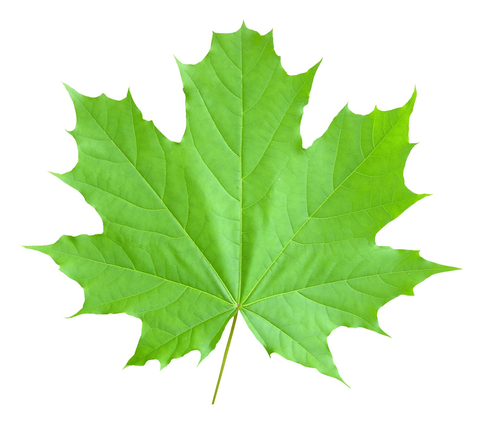 Maple Leaf PNG Image