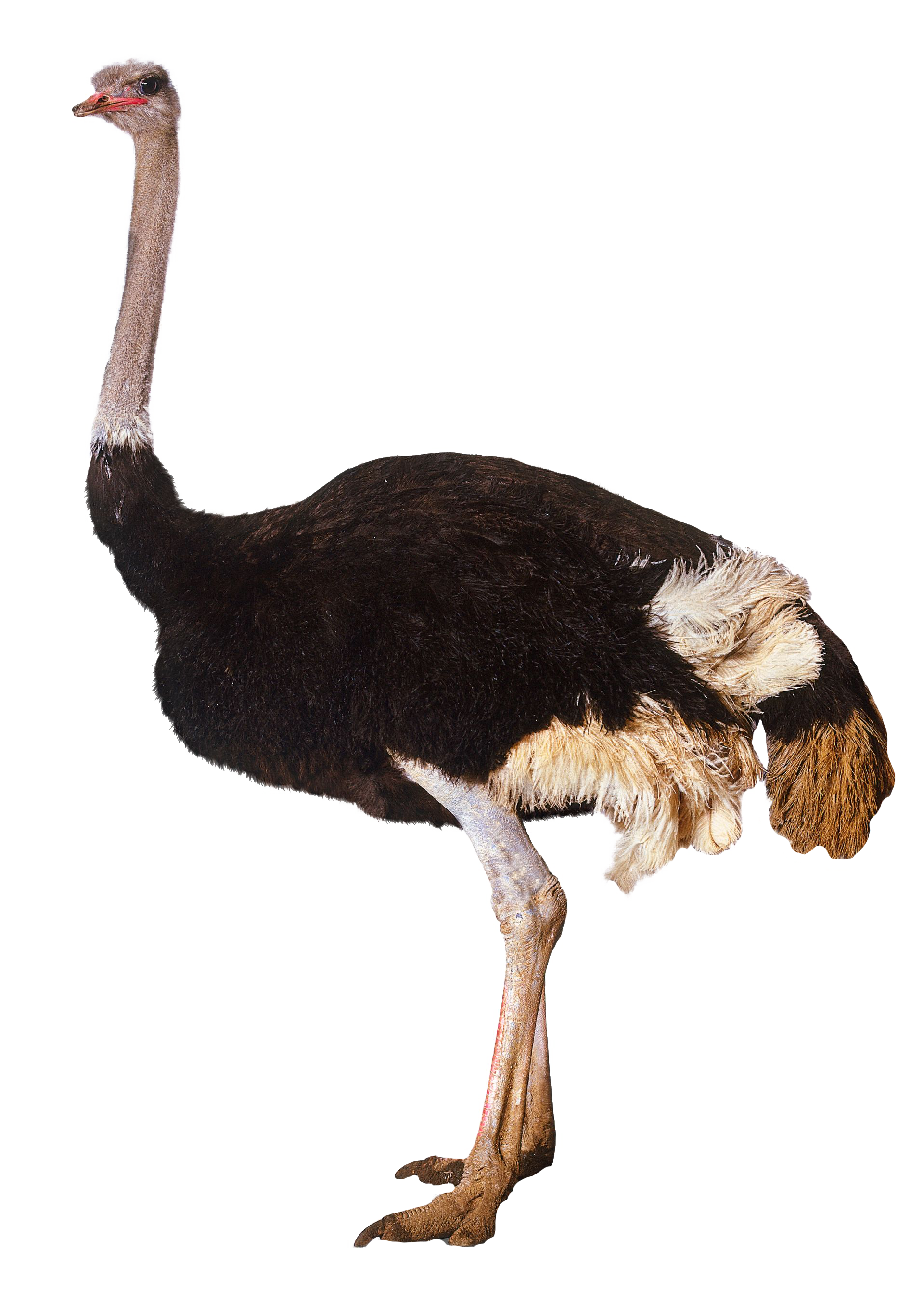 ostrich standing png image purepng free transparent
