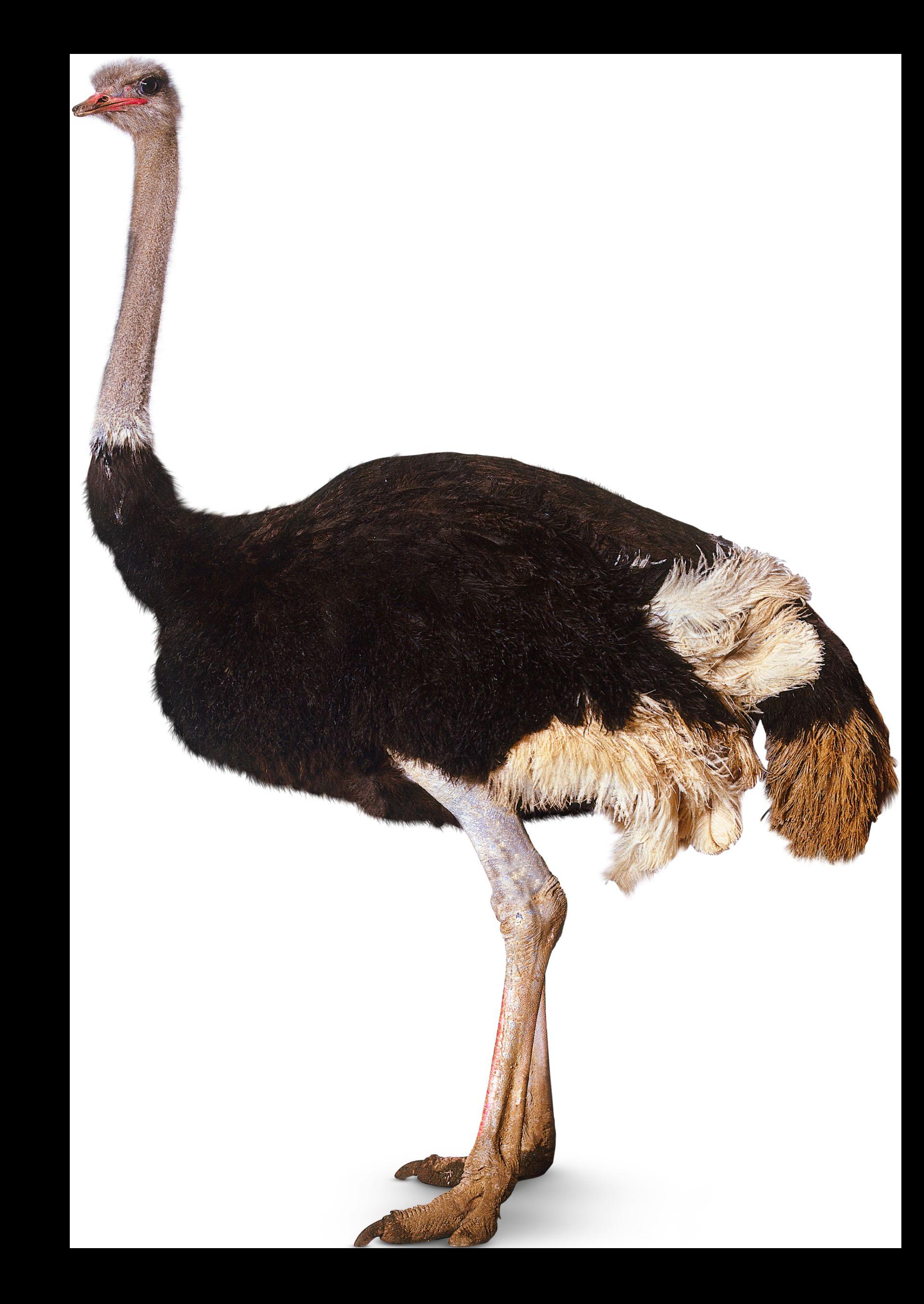 Ostrich Standing