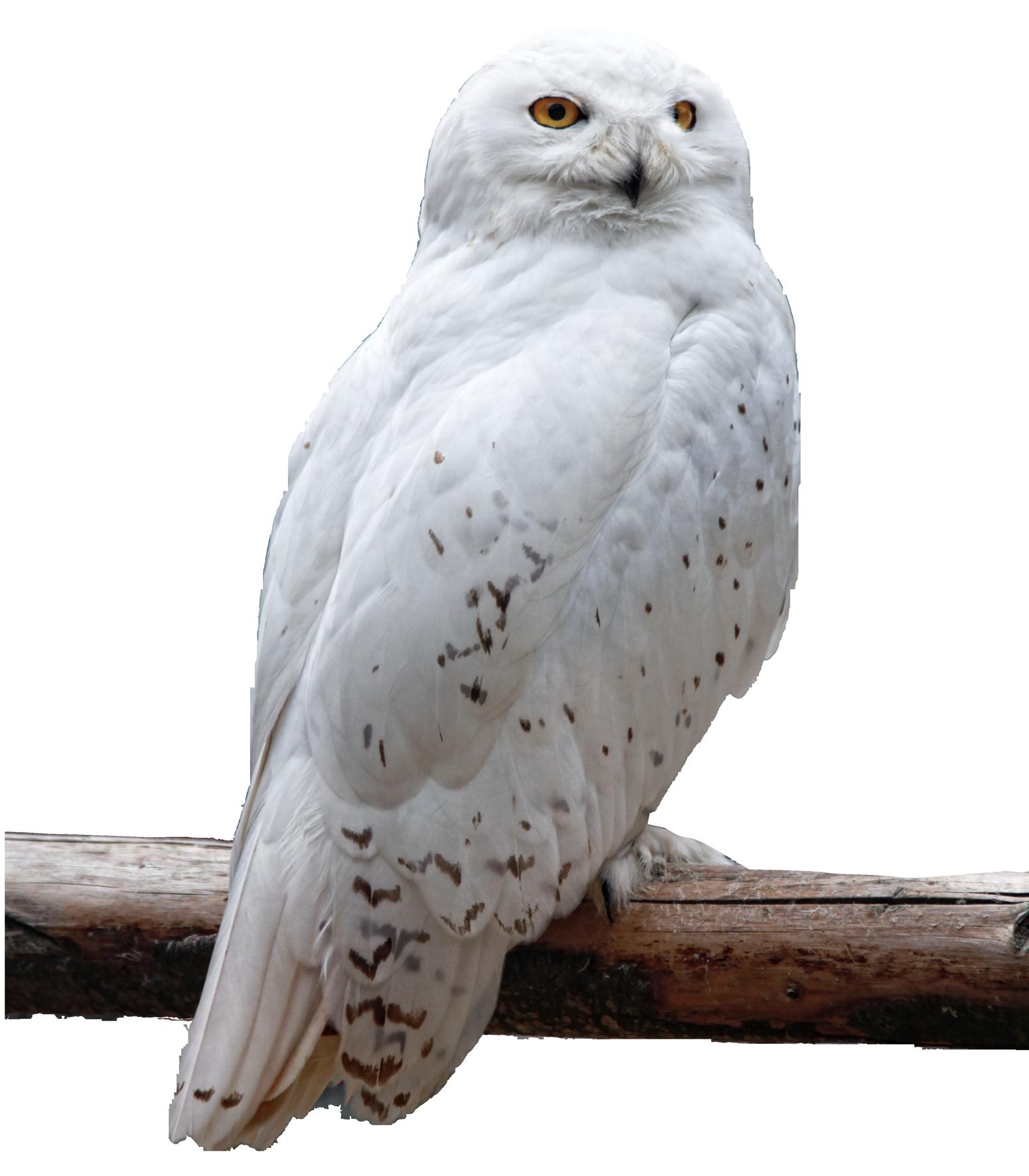 Owl PNG Image - PurePNG   Free transparent CC0 PNG Image ...