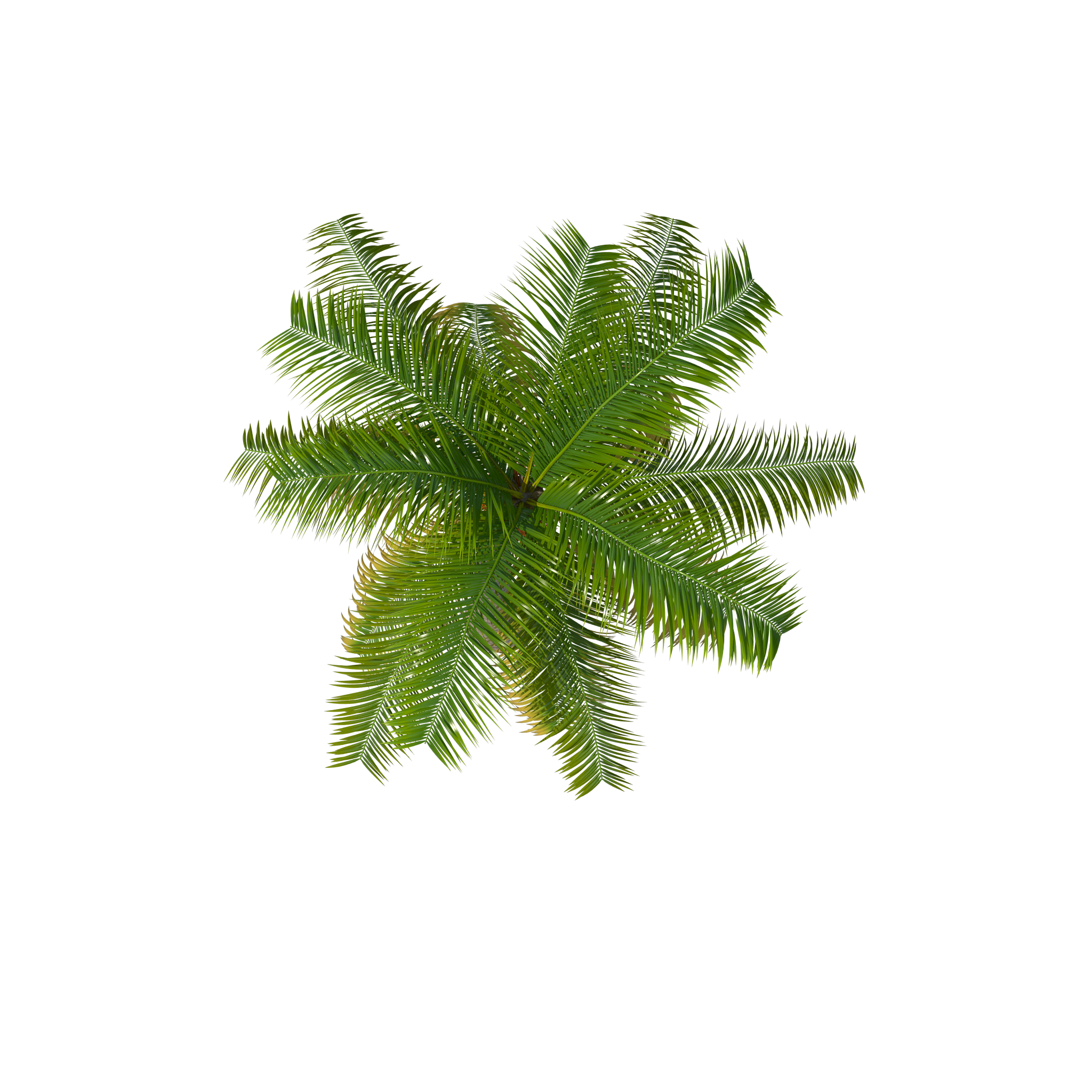 Palm Tree Top PNG Image
