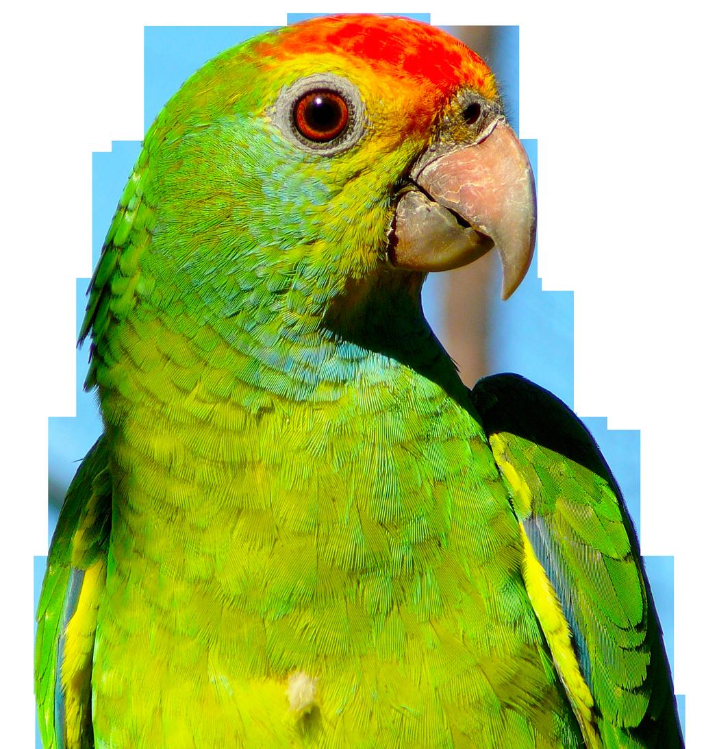 Parrot PNG Image - PurePNG | Free transparent CC0 PNG Image
