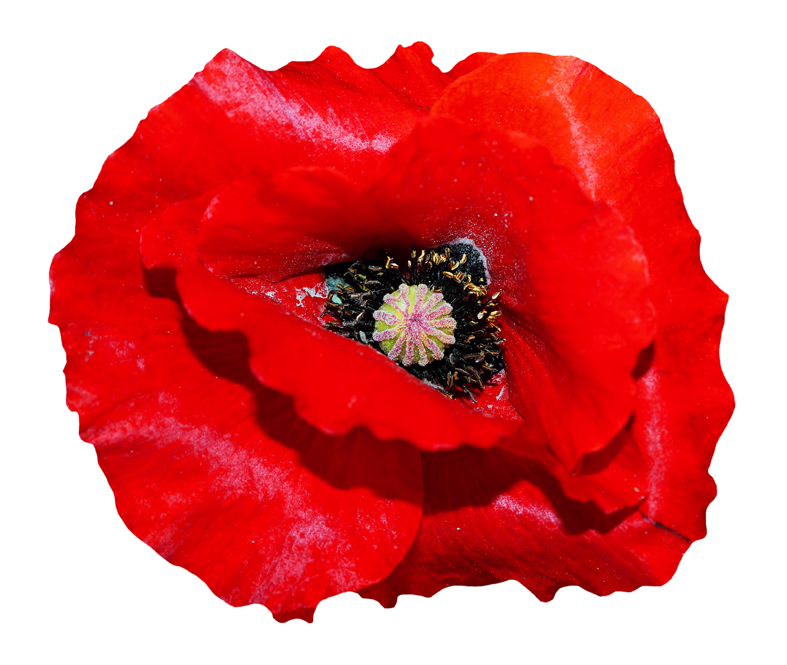 Download Poppy Flower PNG Image for Free