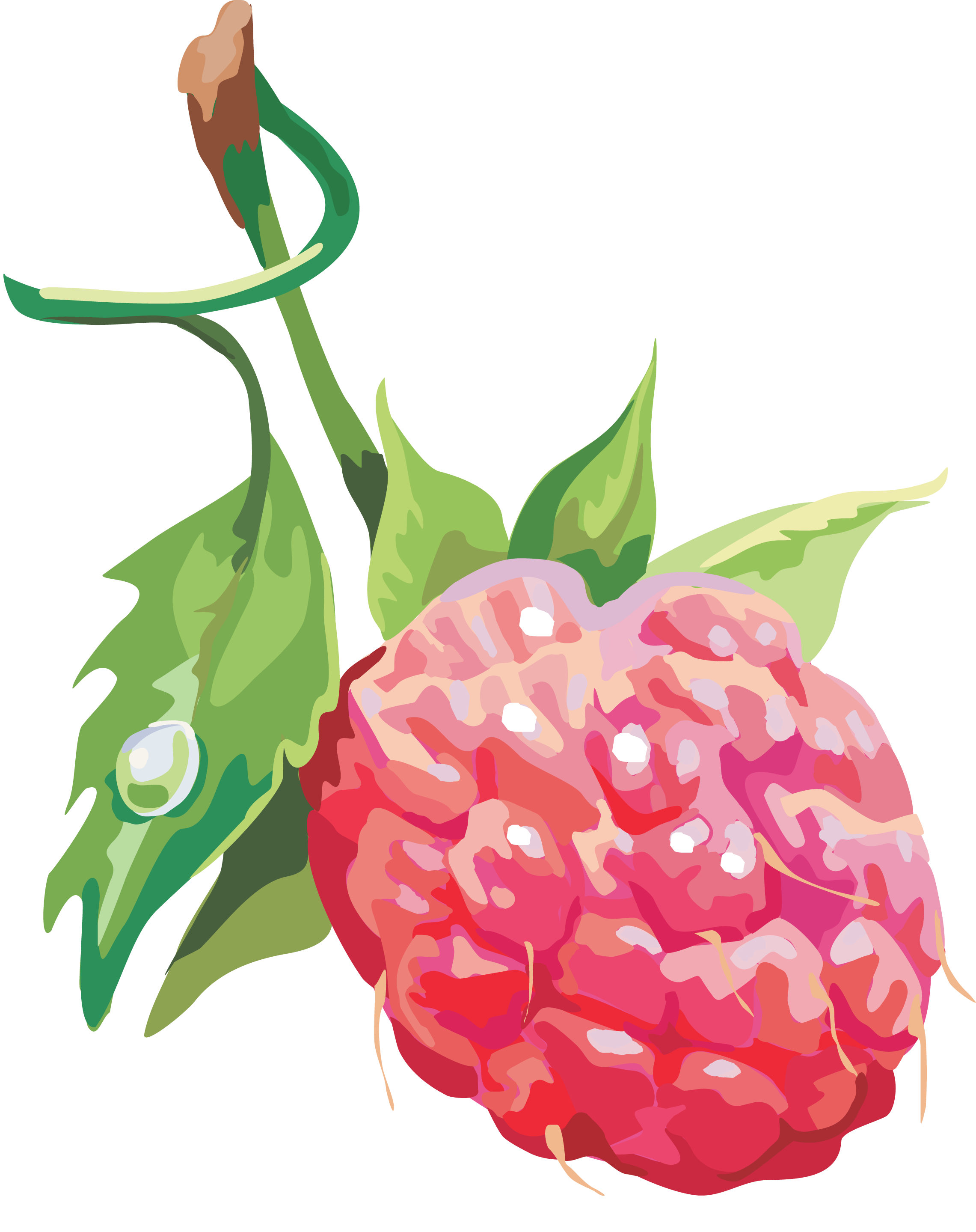 Rasberry Drawing