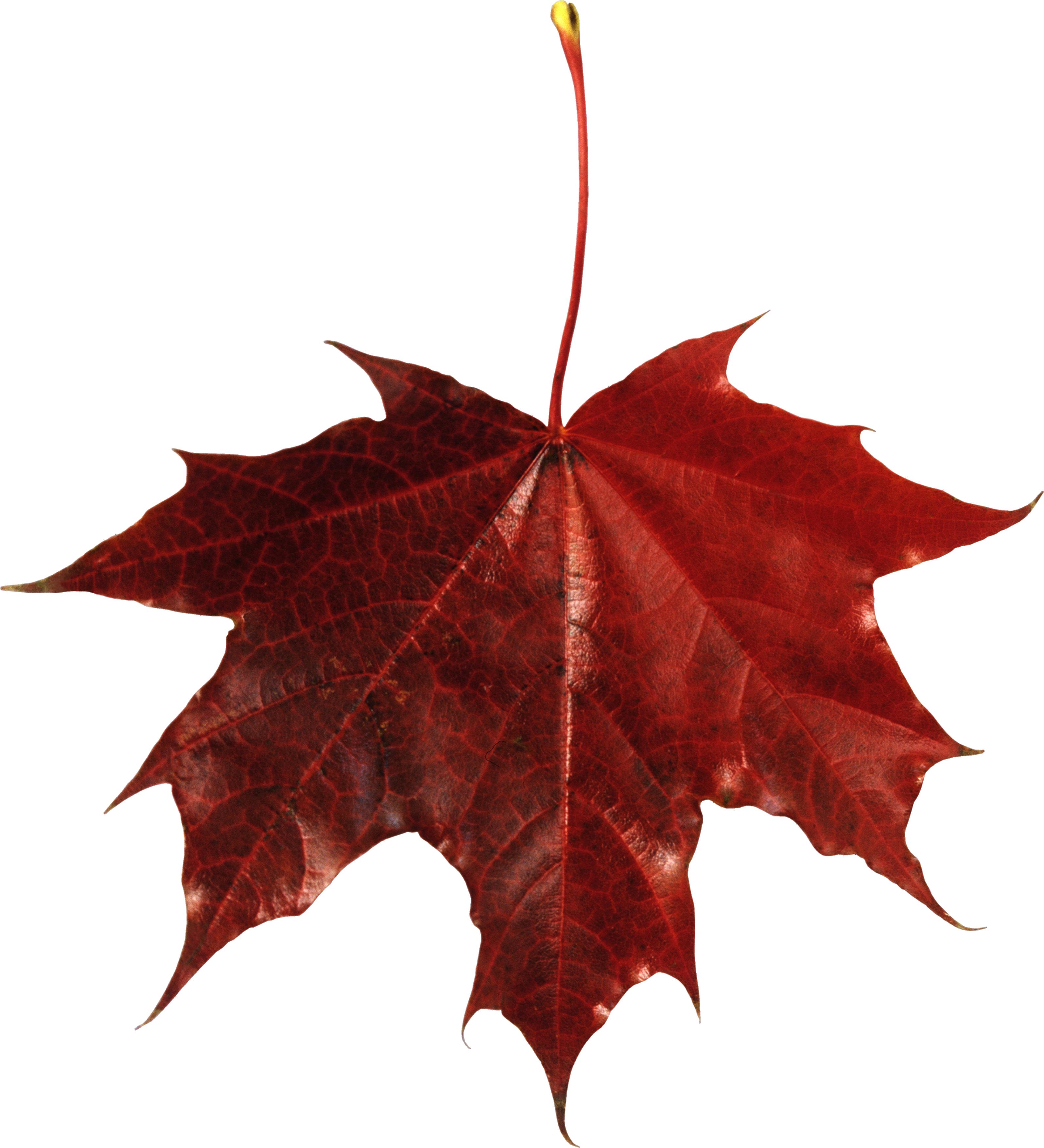 Red Leaf PNG Image