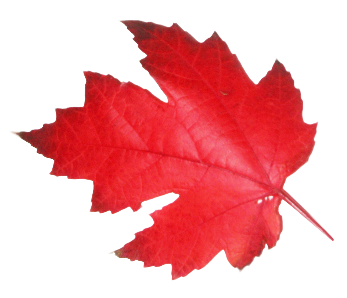 red Leaf PNG Image - PurePNG | Free transparent CC0 PNG ...