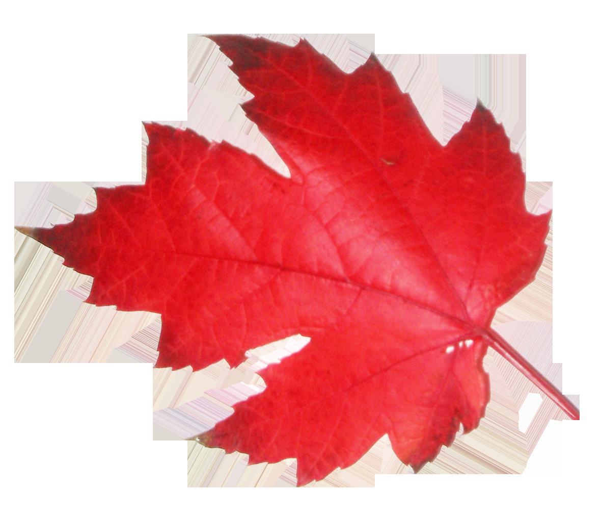 red Leaf PNG Image - PurePNG | Free transparent CC0 PNG ...