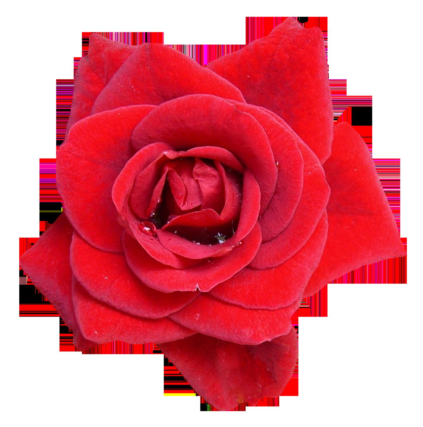 Red Rose Flower Png Image Purepng Free Transparent Cc0 Png Image