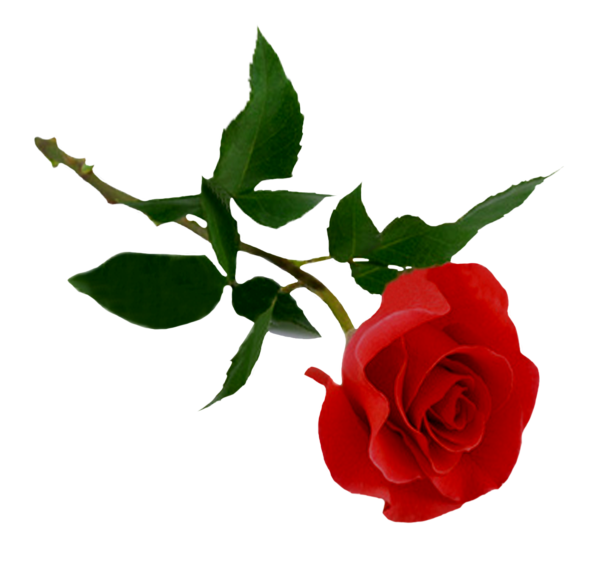 Red Rose Png Image Purepng Free Transparent Cc0 Png Image Library