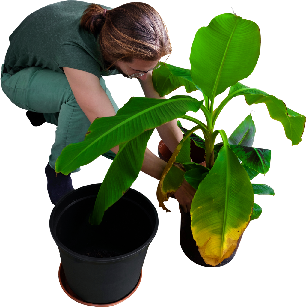Replanting His Banana Trees PNG Image