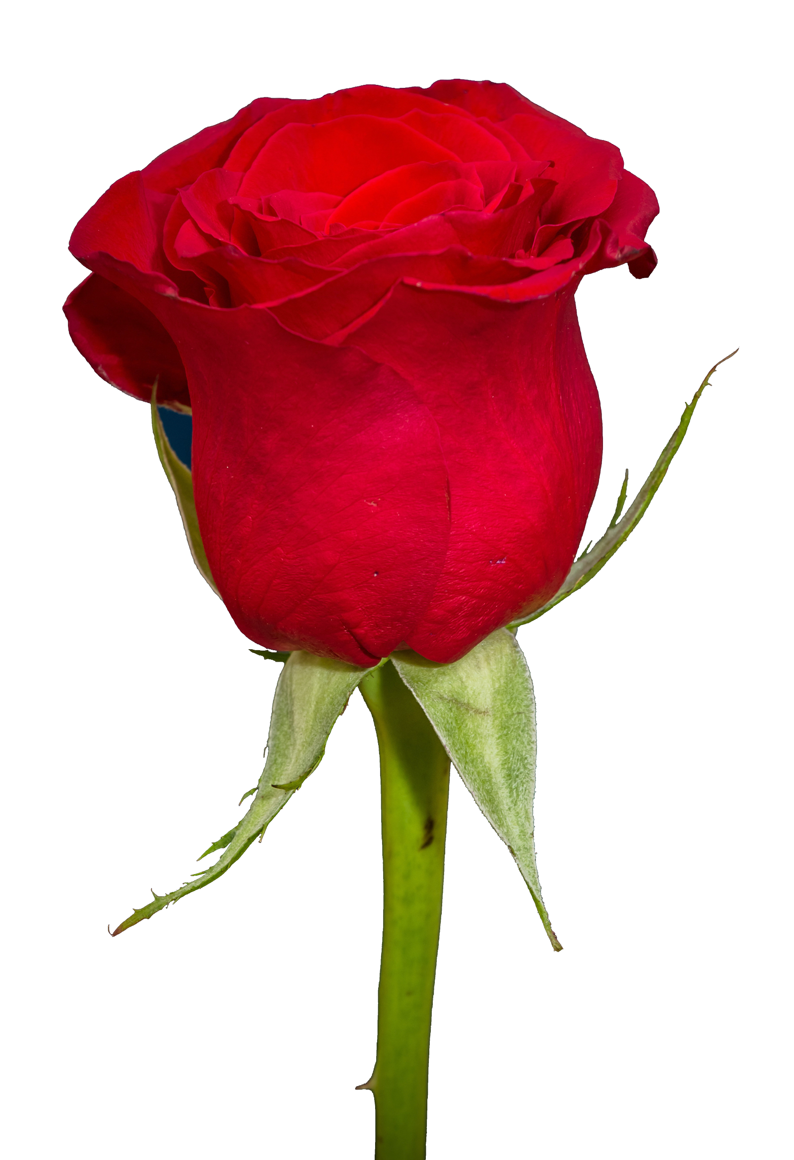 Rose PNG Image