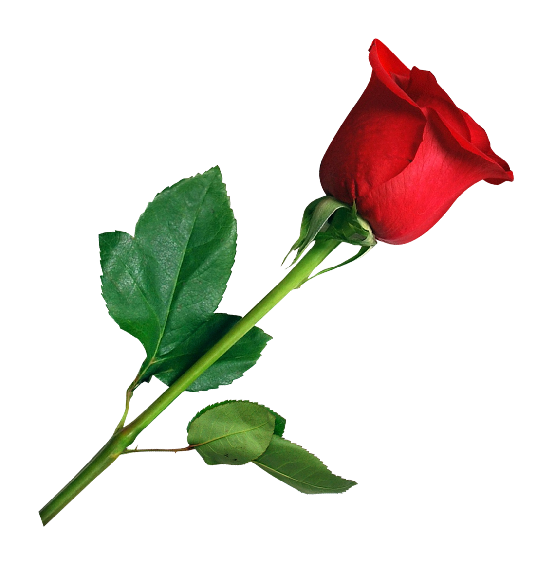 Rose Png Image Purepng Free Transparent Cc0 Png Image Library