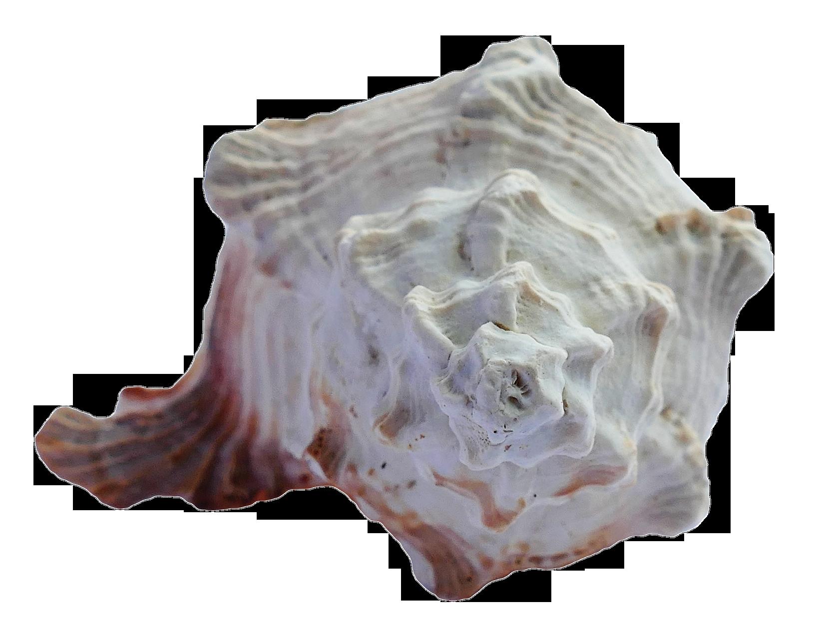 Sea Ocean Shell PNG Image
