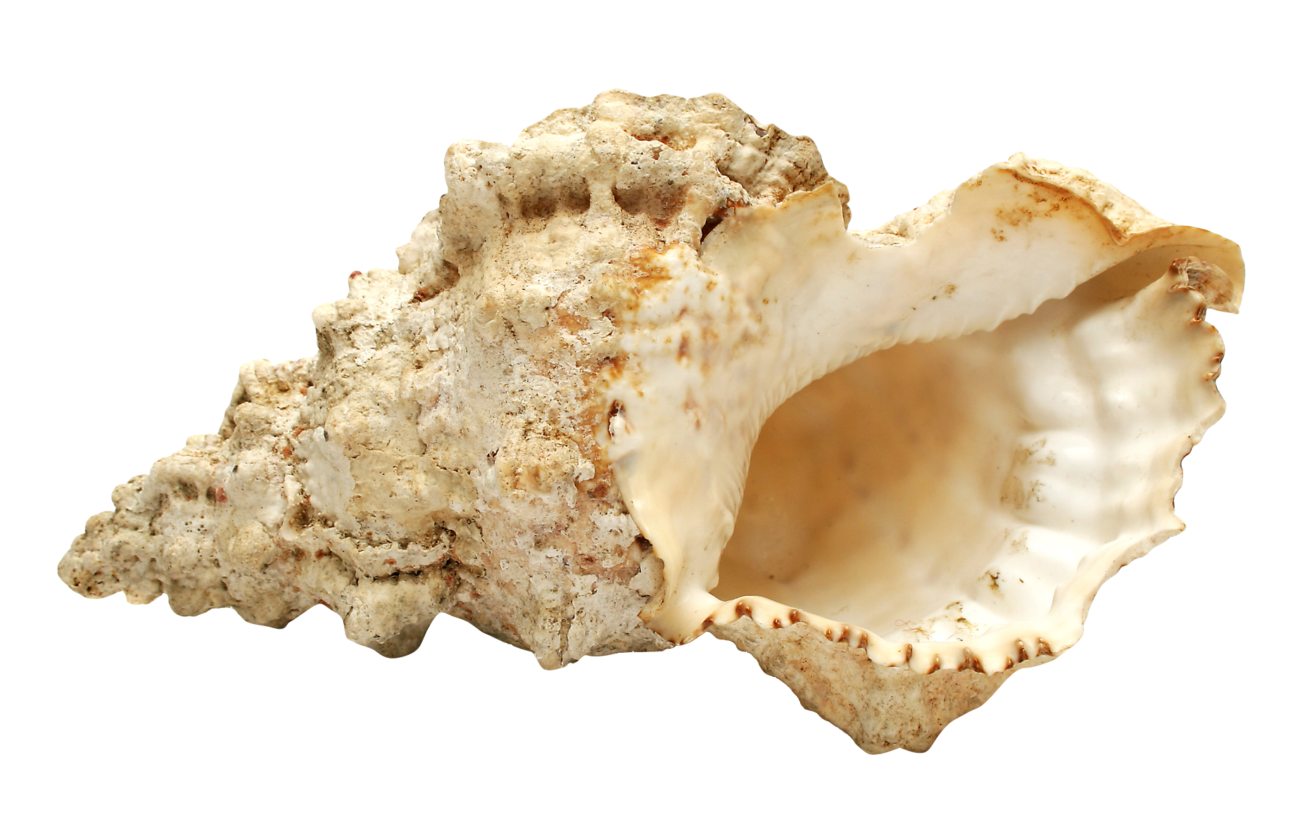Sea Ocean Shell PNG Image