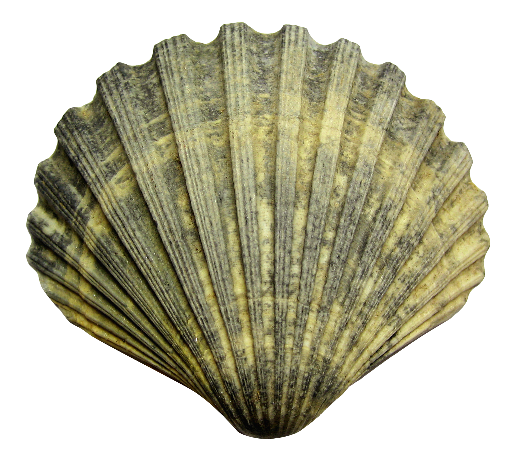 Sea Shell PNG Image