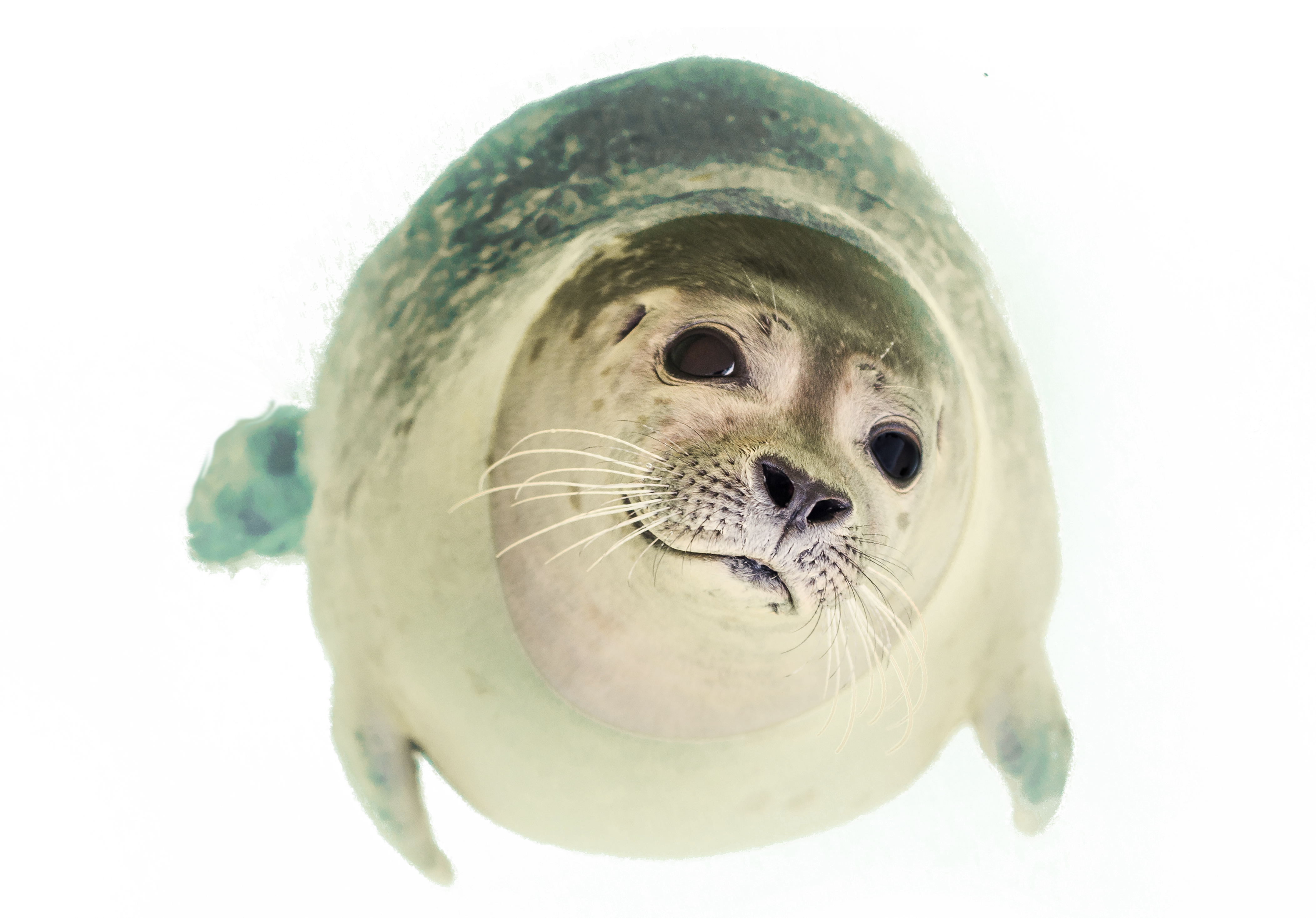Seal Swimming PNG Image