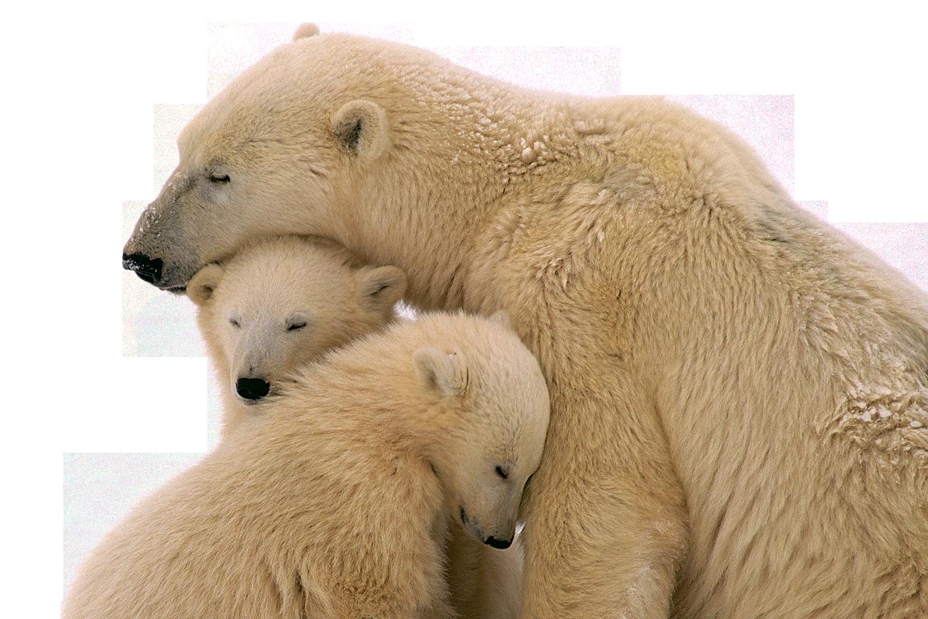 Snow Bear PNG Image