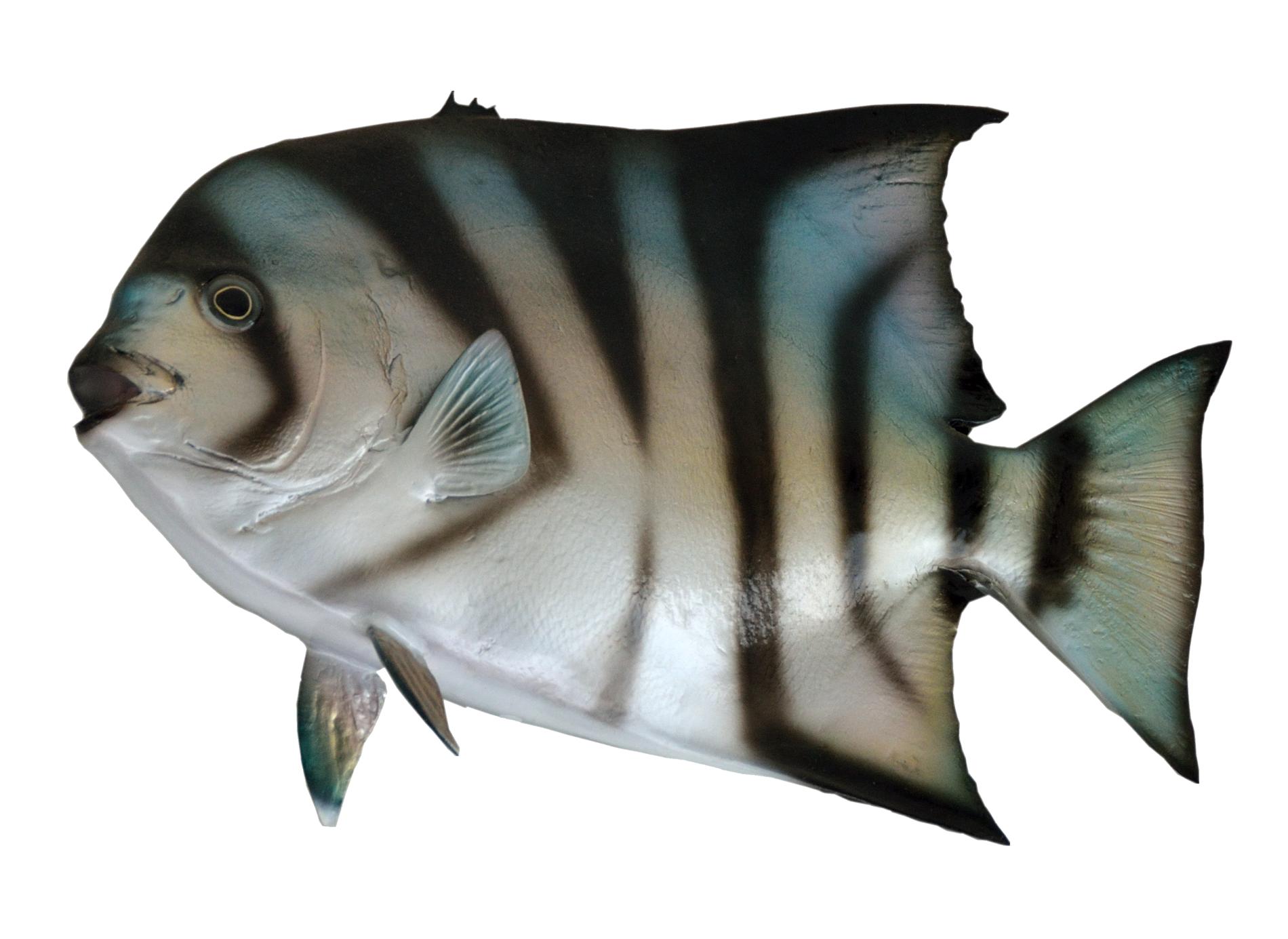 Spadefish PNG Image