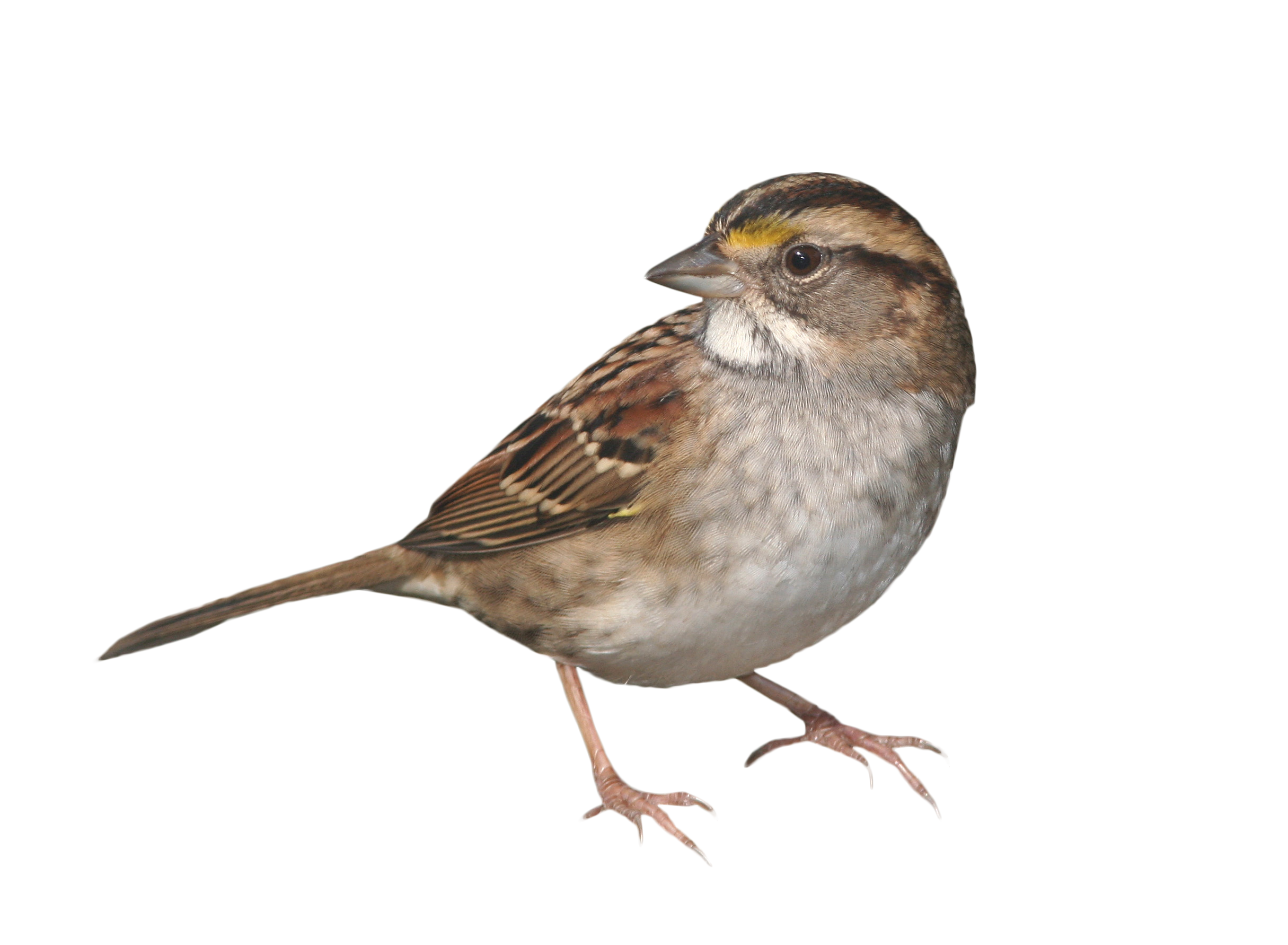 Big Explosion Png Png Image Purepng: Sparrow Standing PNG Image - PurePNG