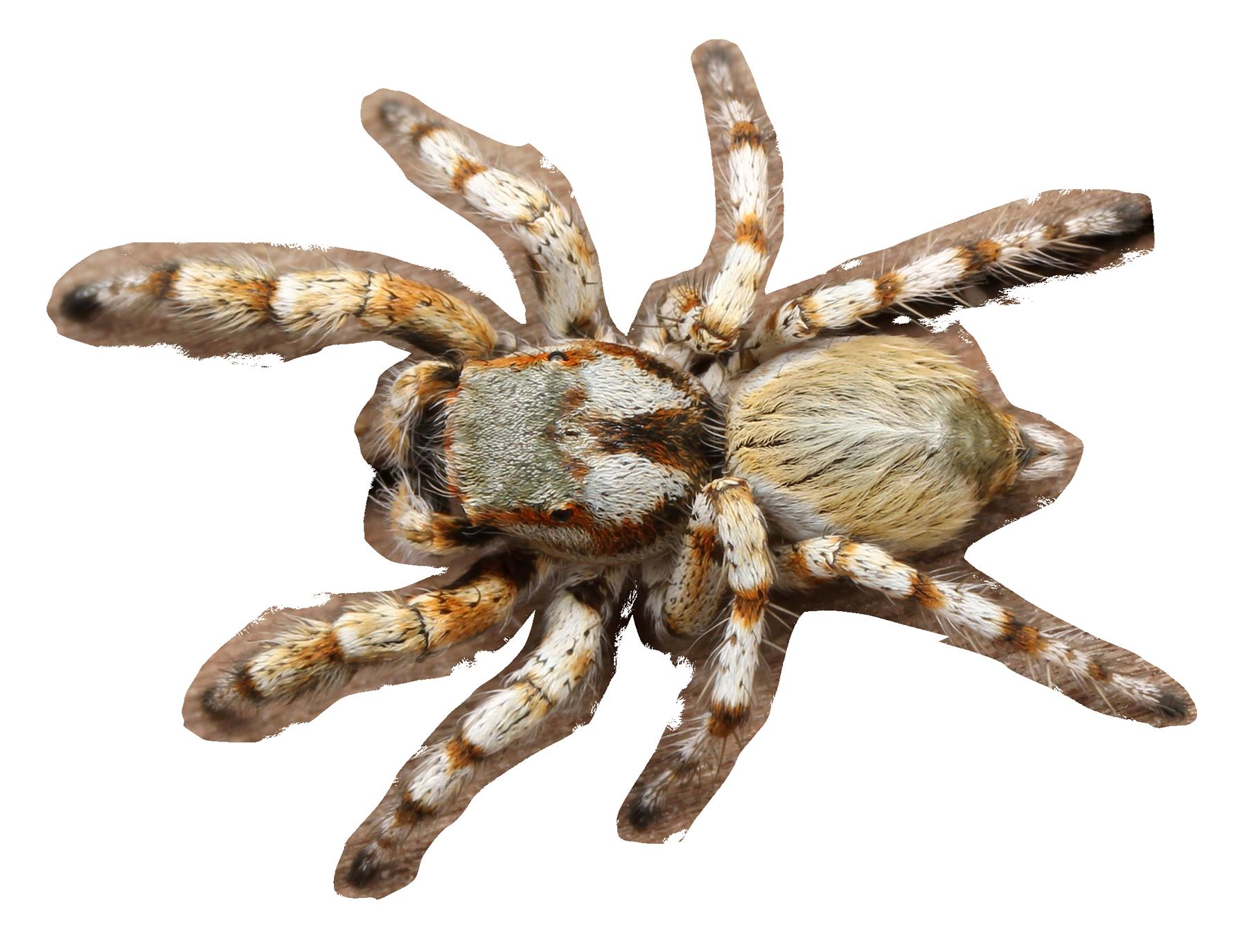 Spider PNG Image