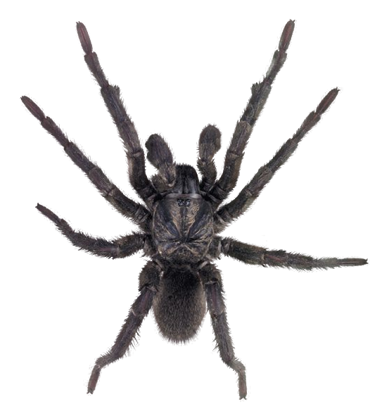 Spider PNG Image