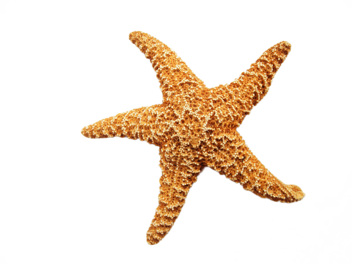Starfish Dried PNG Image - PurePNG