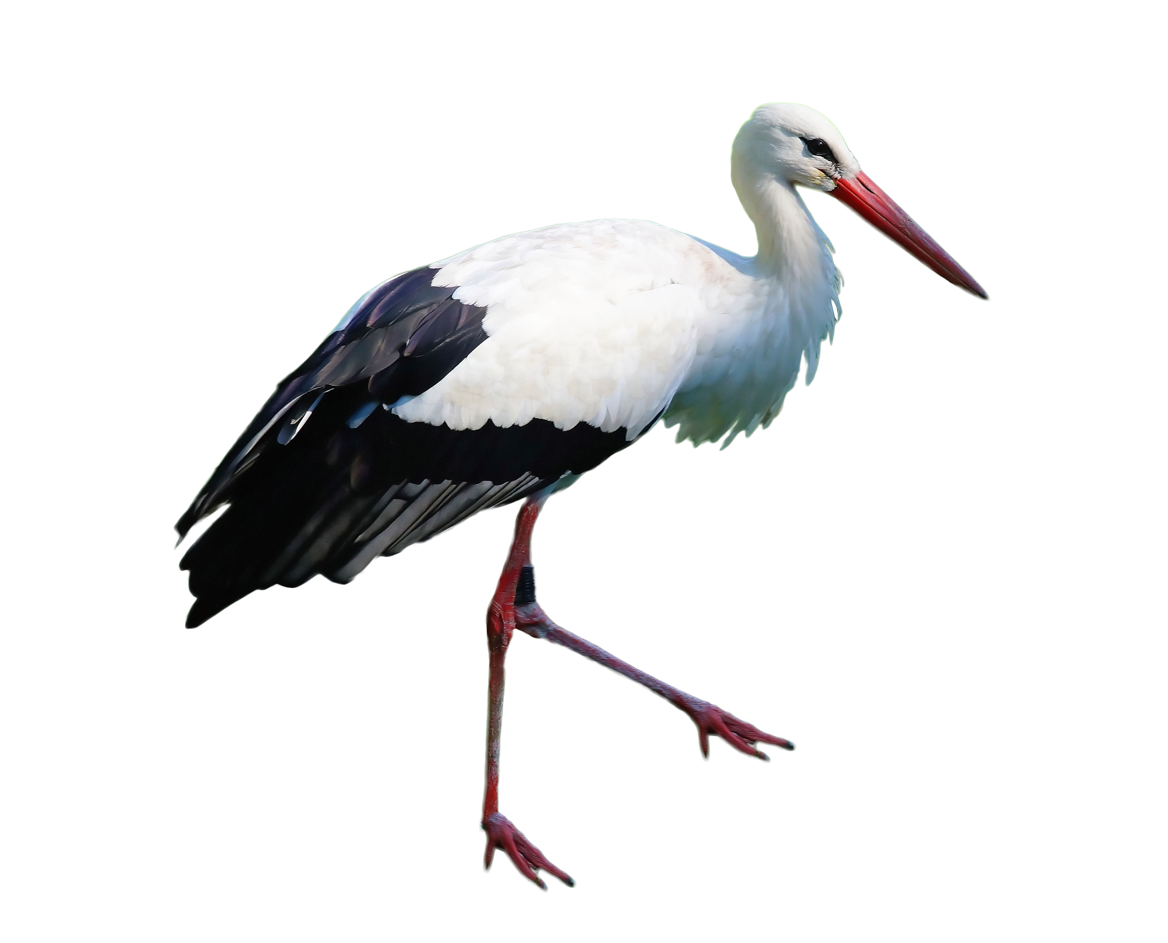 Stork Standing PNG Image