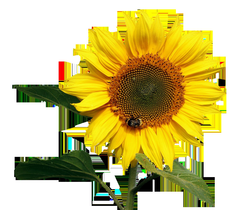 Sunflower Transparent PNG Image