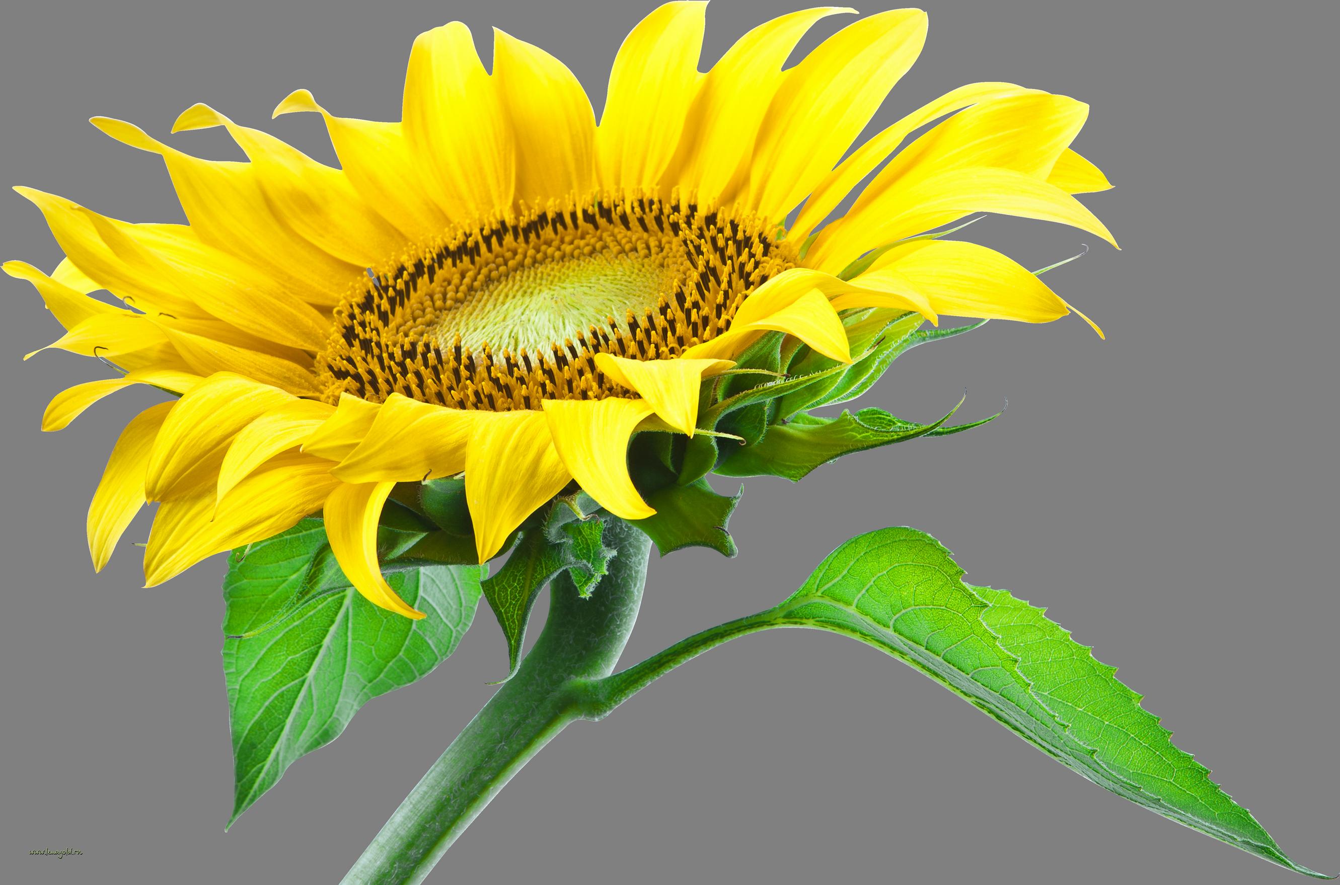 Big Explosion Png Png Image Purepng: Sunflower PNG Image - PurePNG