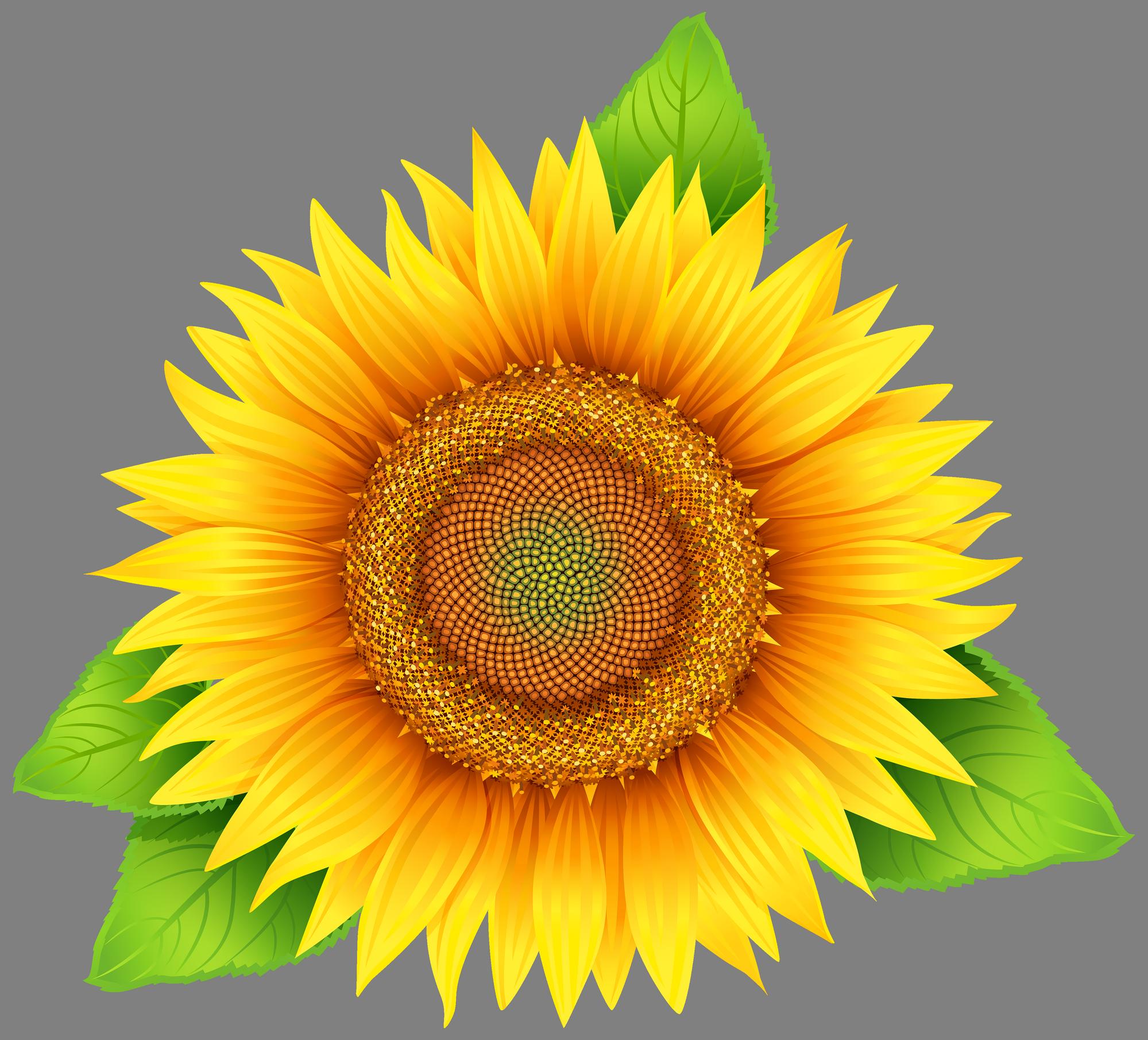 Sunflower Png Images Transparent Background: Sunflower PNG Image - PurePNG