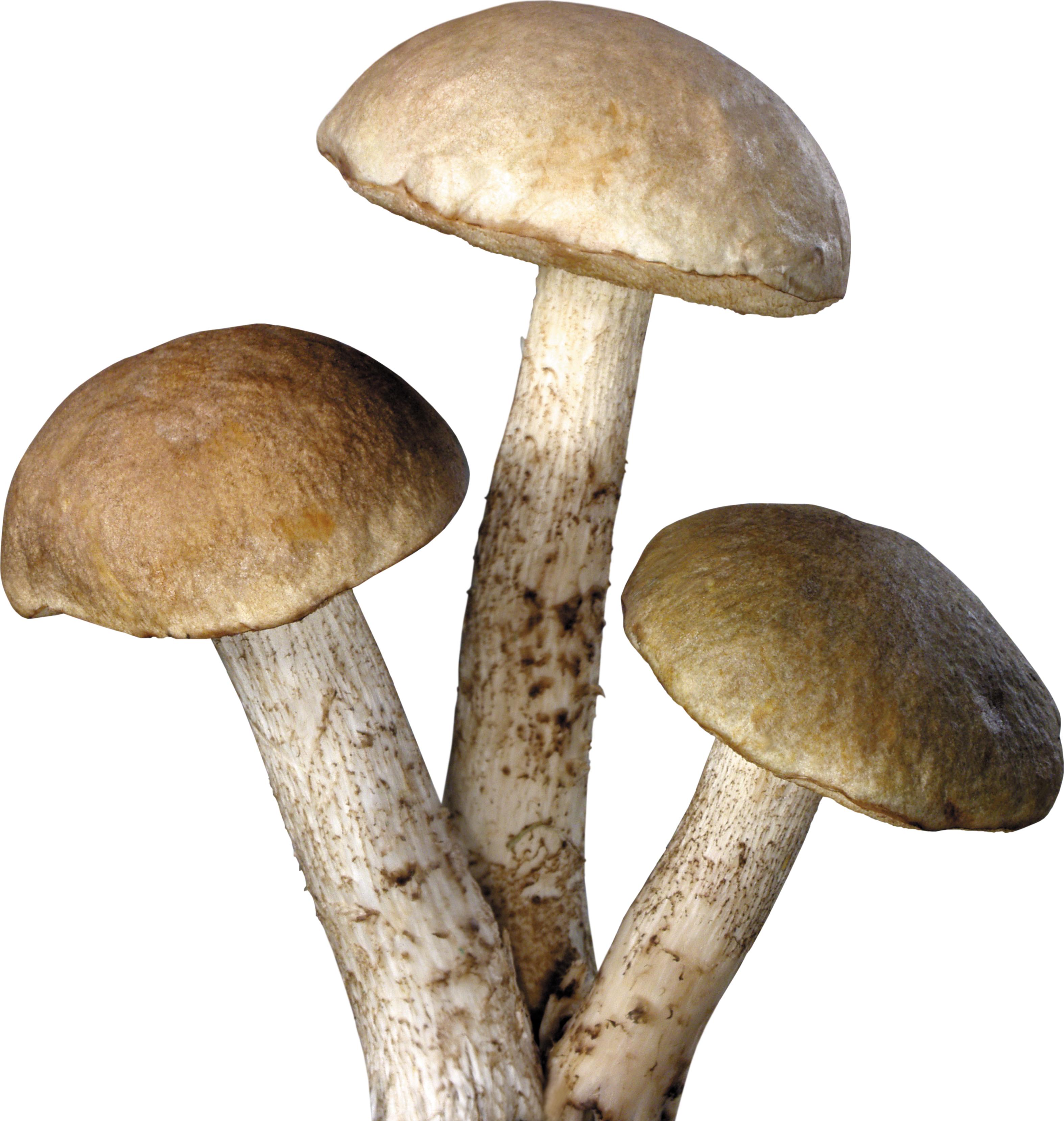 Three tree Mushrooms