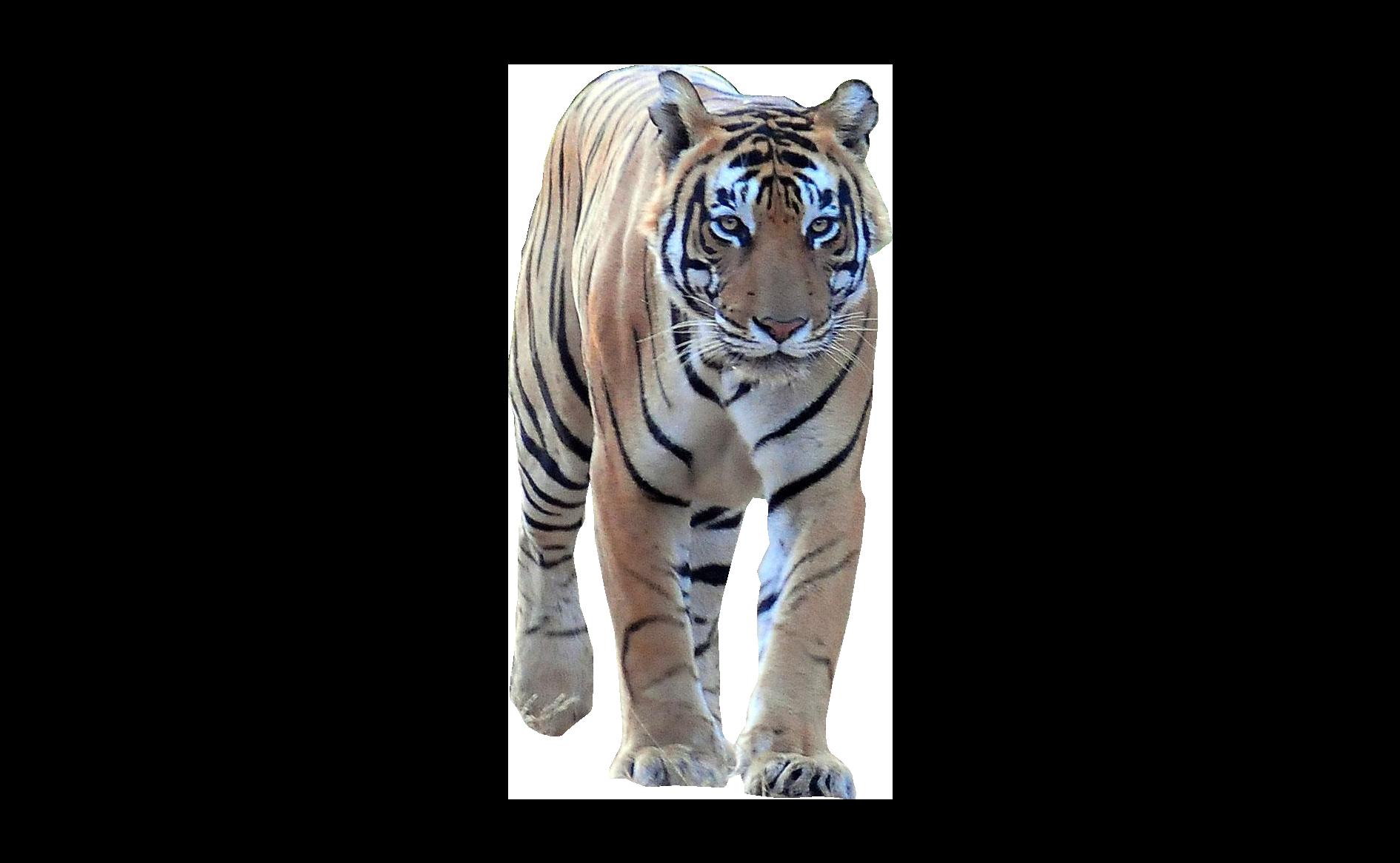 Tiger Walking Frontal PNG Image