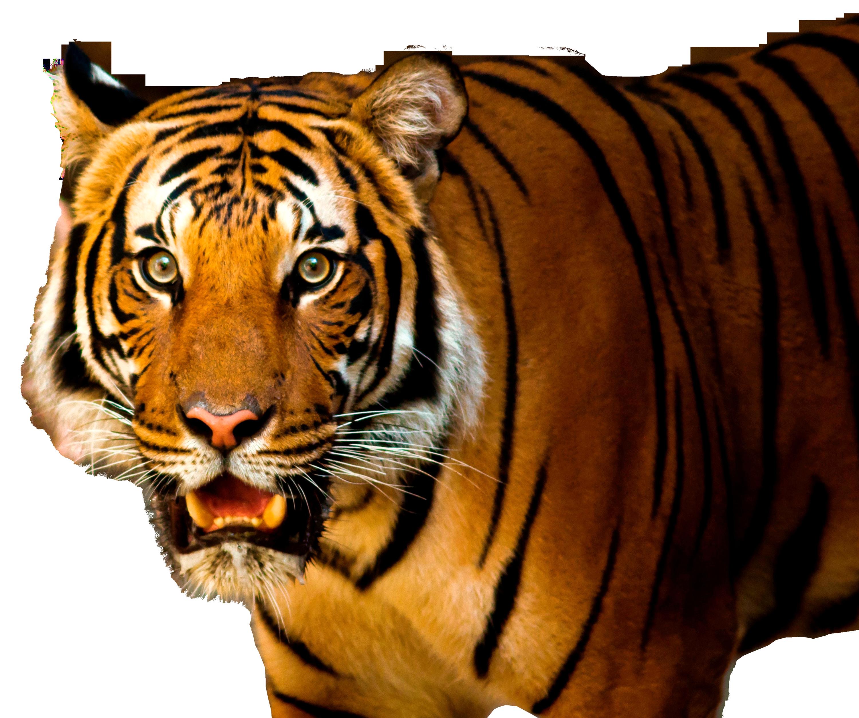 Tiger PNG Image