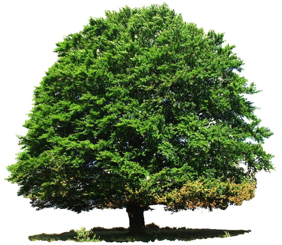 Large Greenery Tree PNG Image