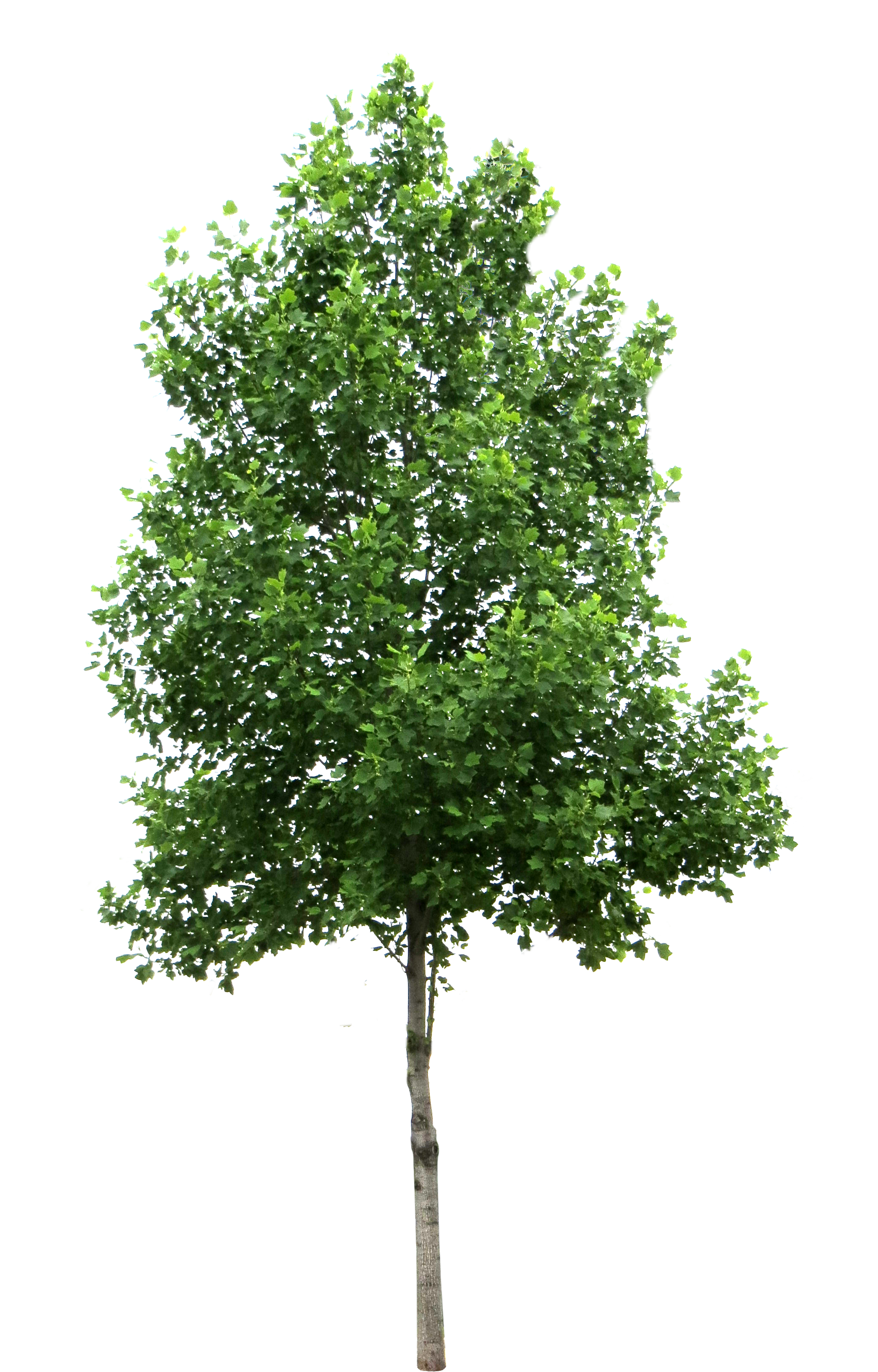 High Tree with Leaves PNG Image