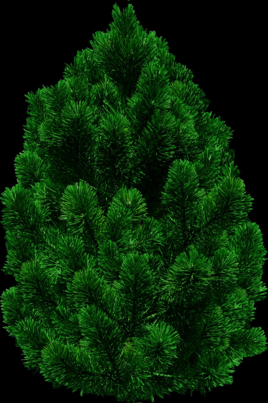 Fir Natural Tree PNG Image