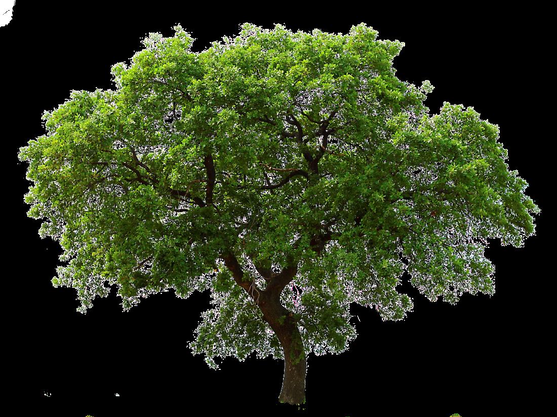 Big Green Tree PNG Image