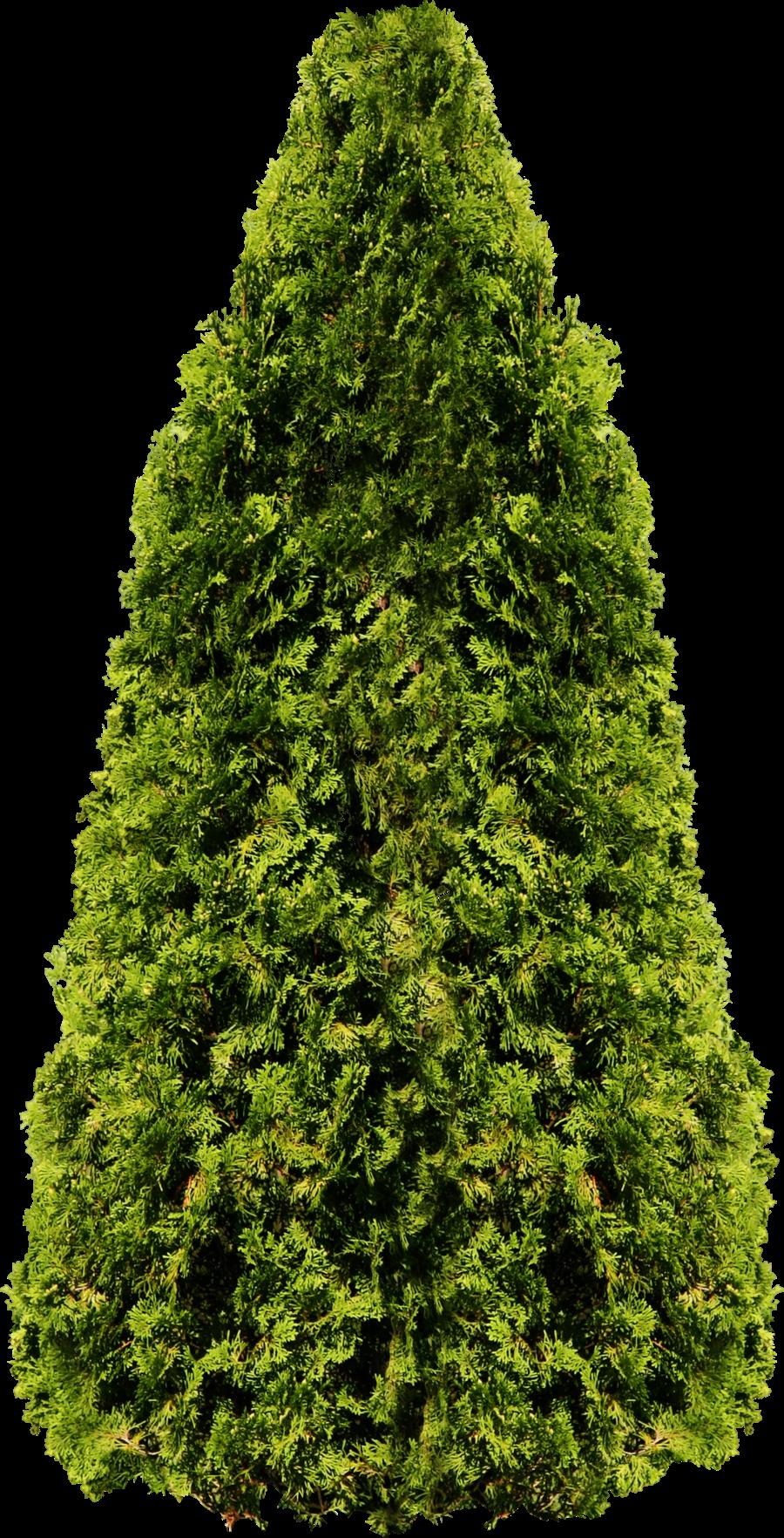 Big Fir Tree PNG Image