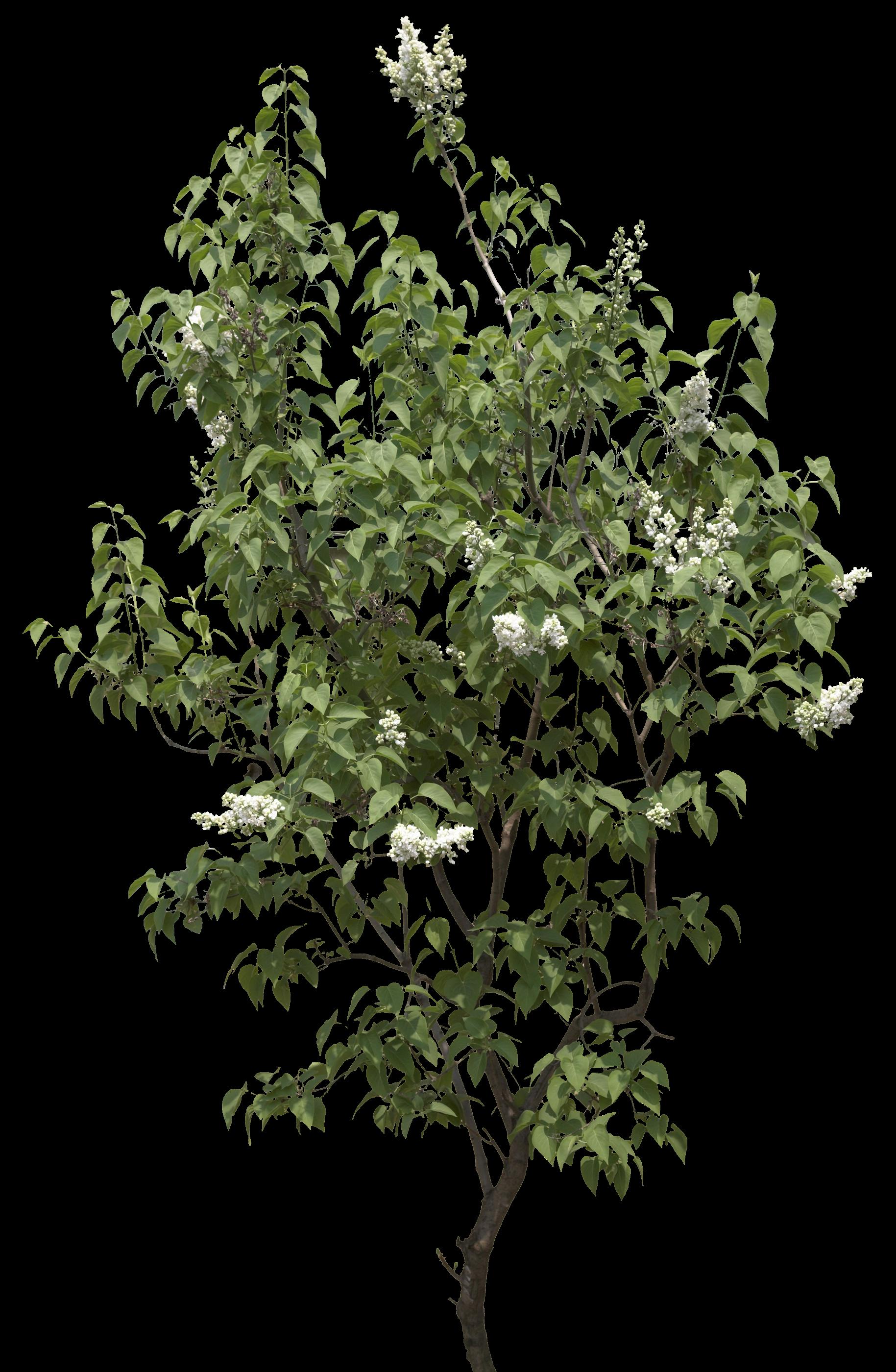 Garden Leaf Tree PNG Image