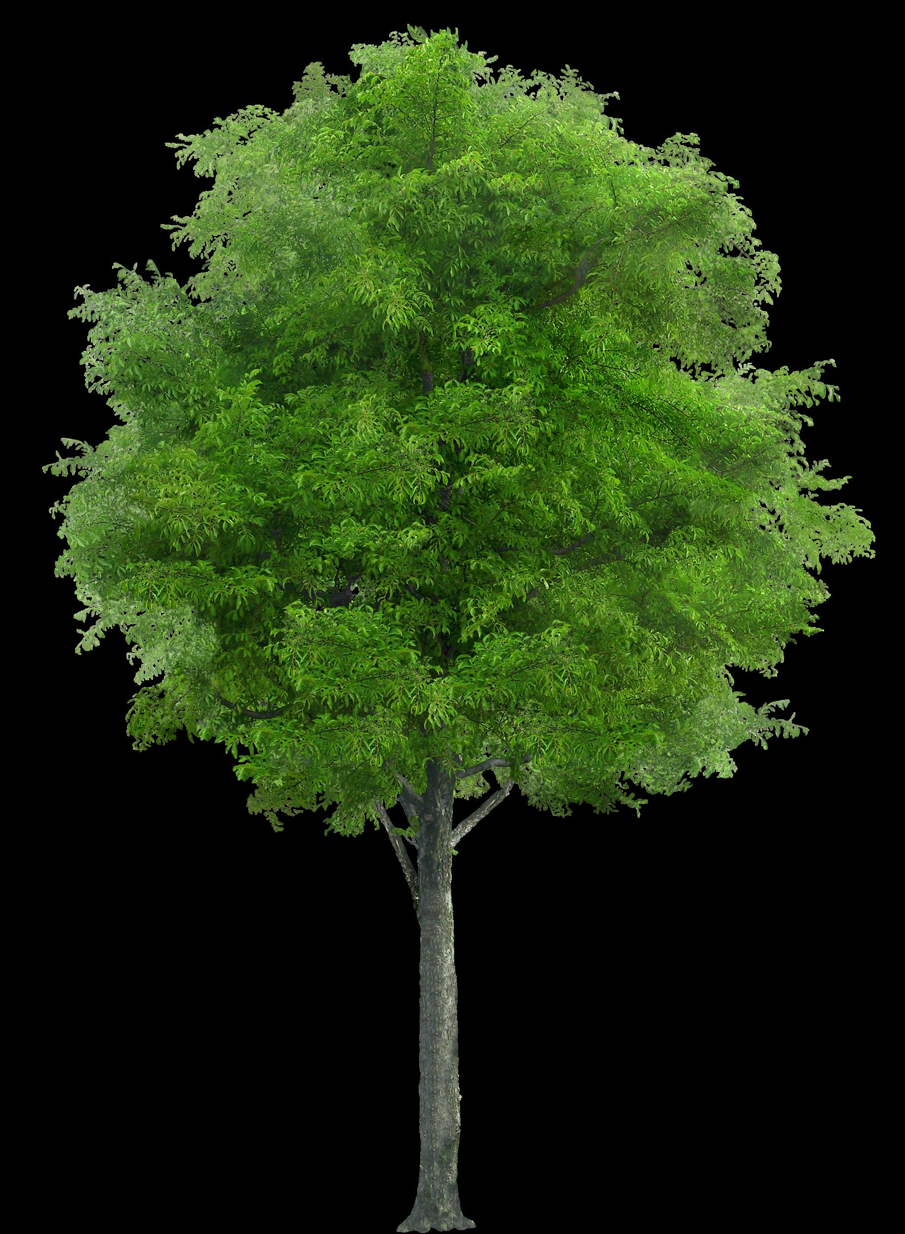 Garden Tree PNG Image
