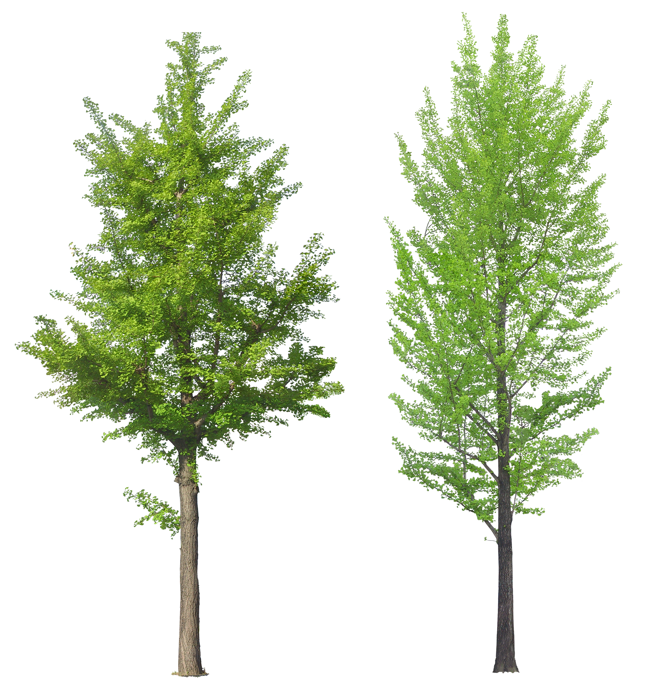 Leafy Trees PNG Image