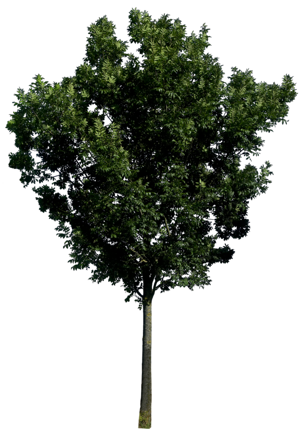 Large Tree with Leaves PNG Image