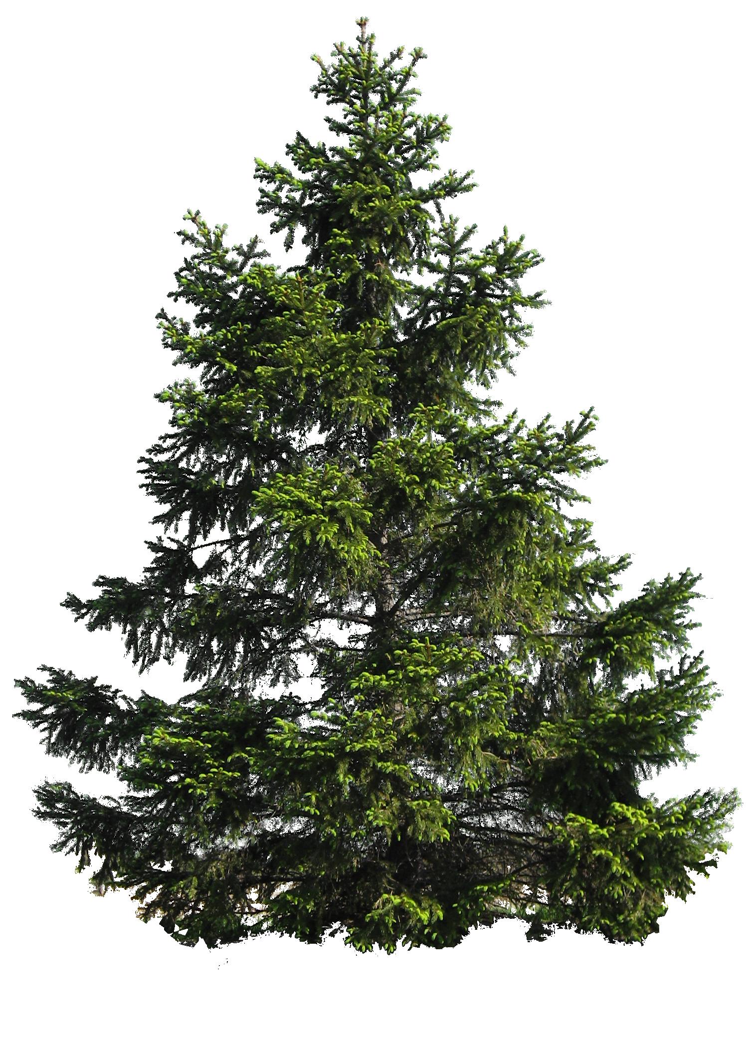 Fir Nature PNG Image