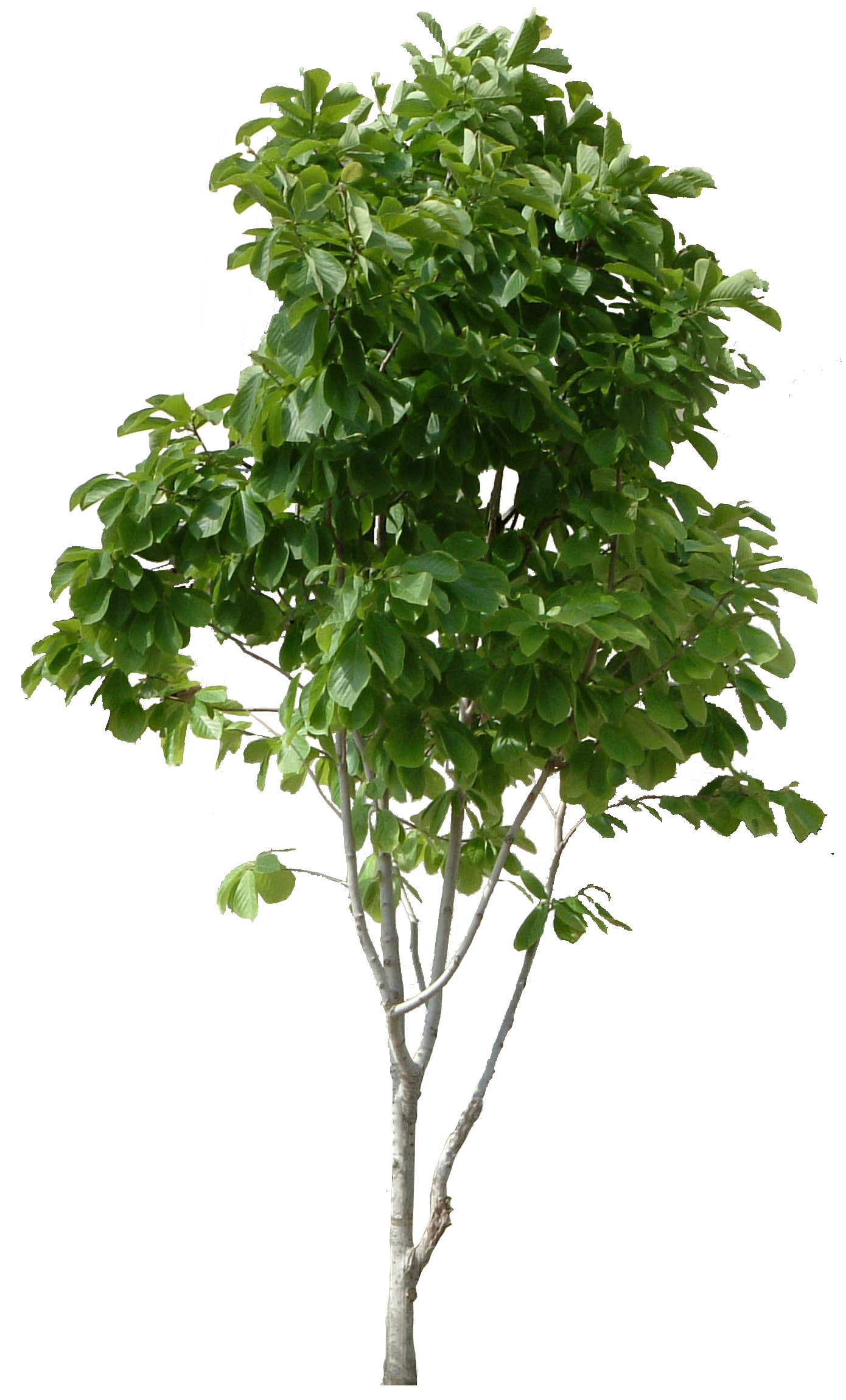 Plant Wood Tree PNG Image
